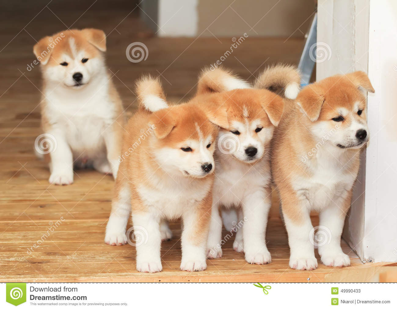Four Puppies Of Japanese Akita-inu Breed Dog Stock Photo ...