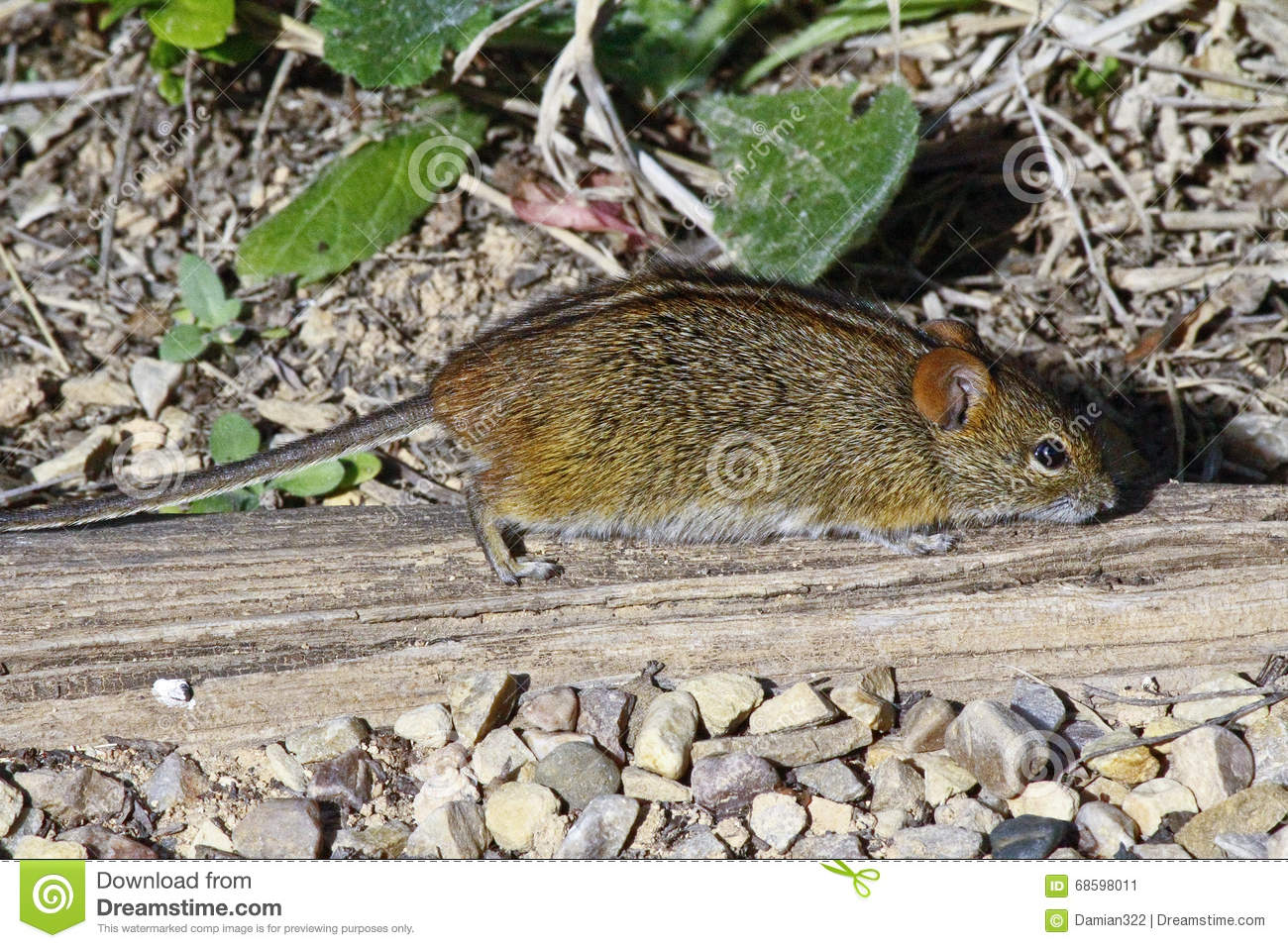 Four striped field mouse in sandy area royalty free stock for Field mouse cartoon