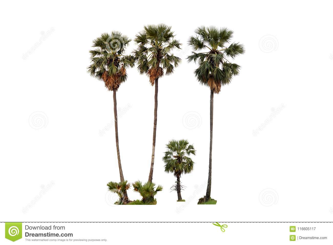 Four sugar palm tree isolated on white background, Family tree