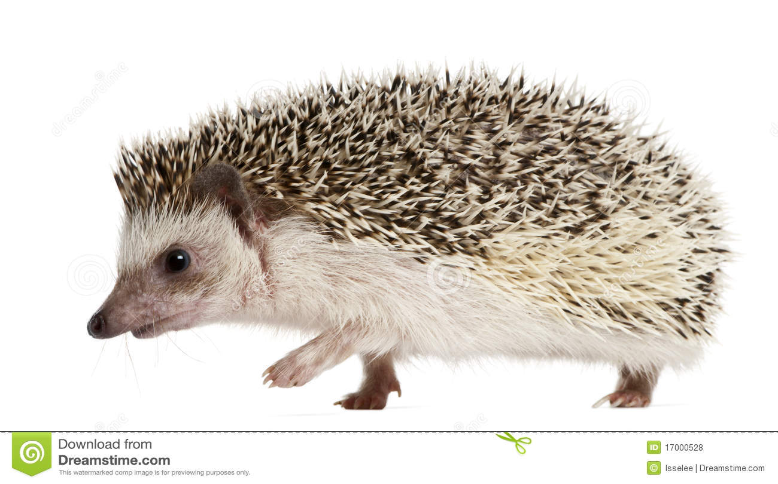 four-toed-hedgehog-atelerix-albiventris-
