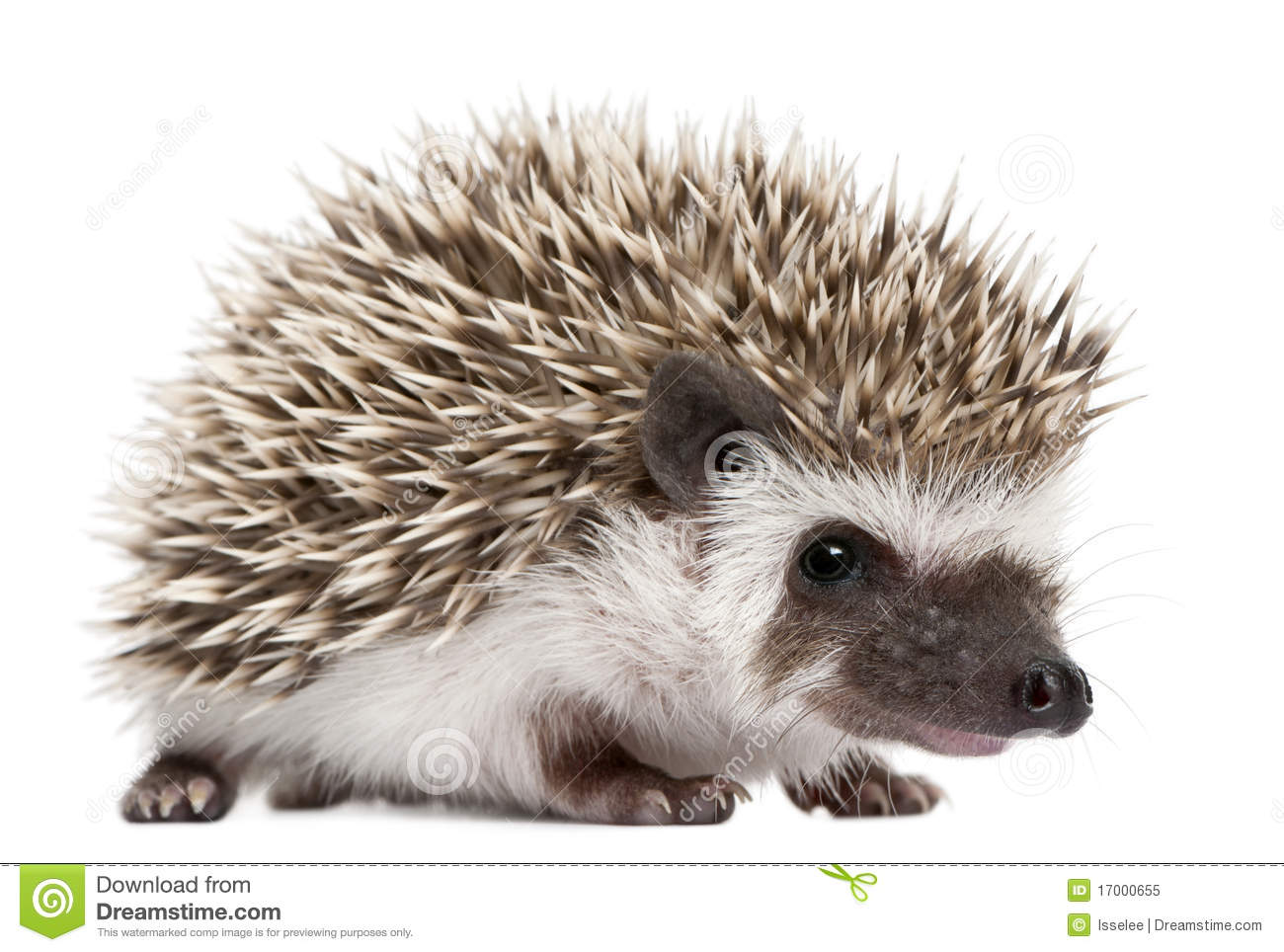 Four-toed Hedgehog, Atelerix albiventris, 3 weeks old, in front of ...