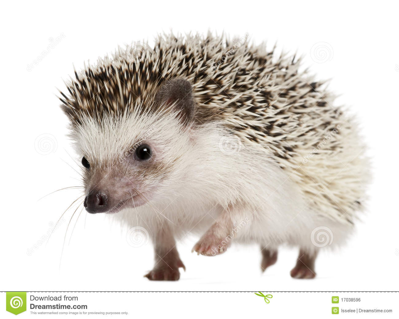 Four toed Hedgehog Atelerix Albiventris Royalty Free Stock Image