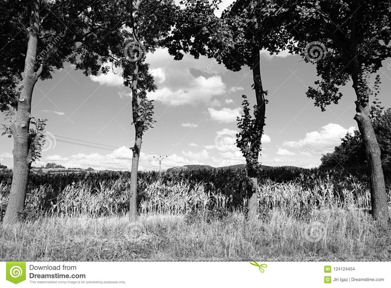 Four trees in front of corn field near Volyne city in Czech rebublic on 11th august 2018 during summer afternoon