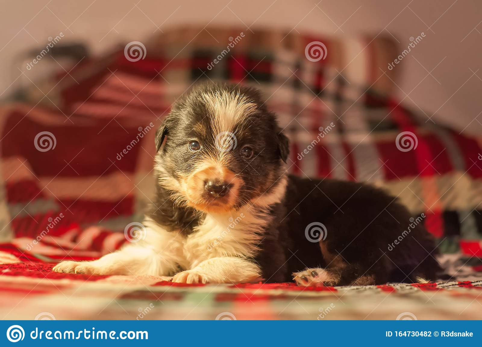 Border Collie Puppy Stock Photo Image Of Beauty Breed 164730482