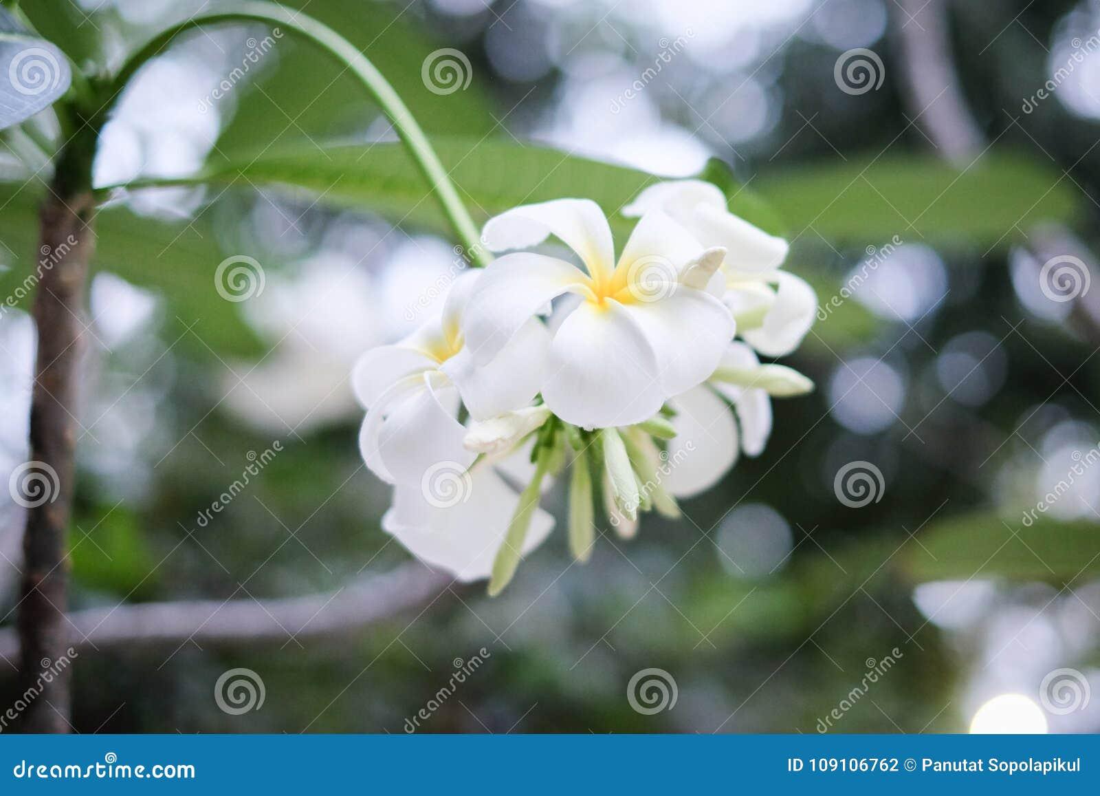 White plumeria on tree stock photo image of foliage 109106762 four white plumeria on tree bottom view and bokeh mightylinksfo