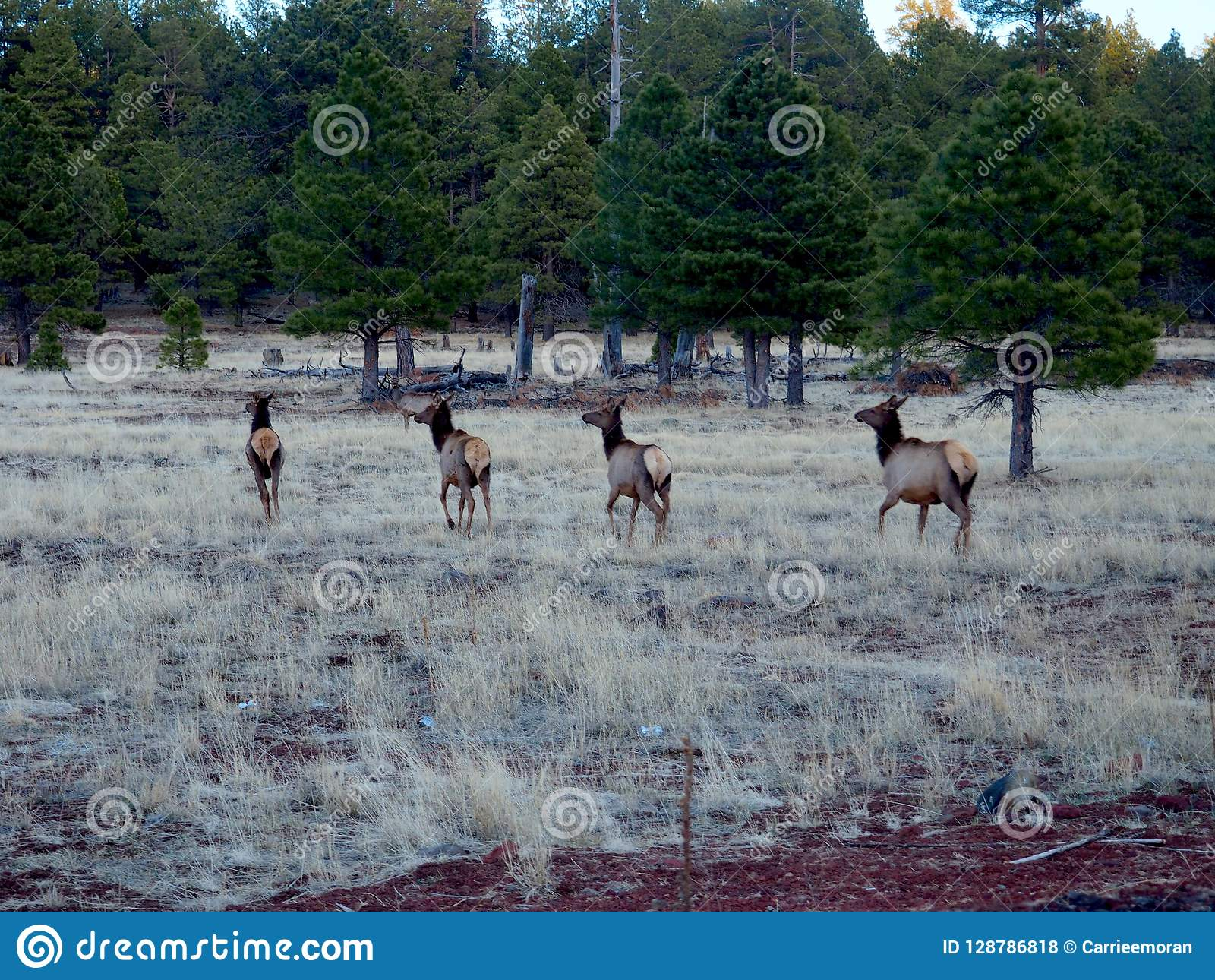 Four Wild Deer Running in a Meadow in Arizona
