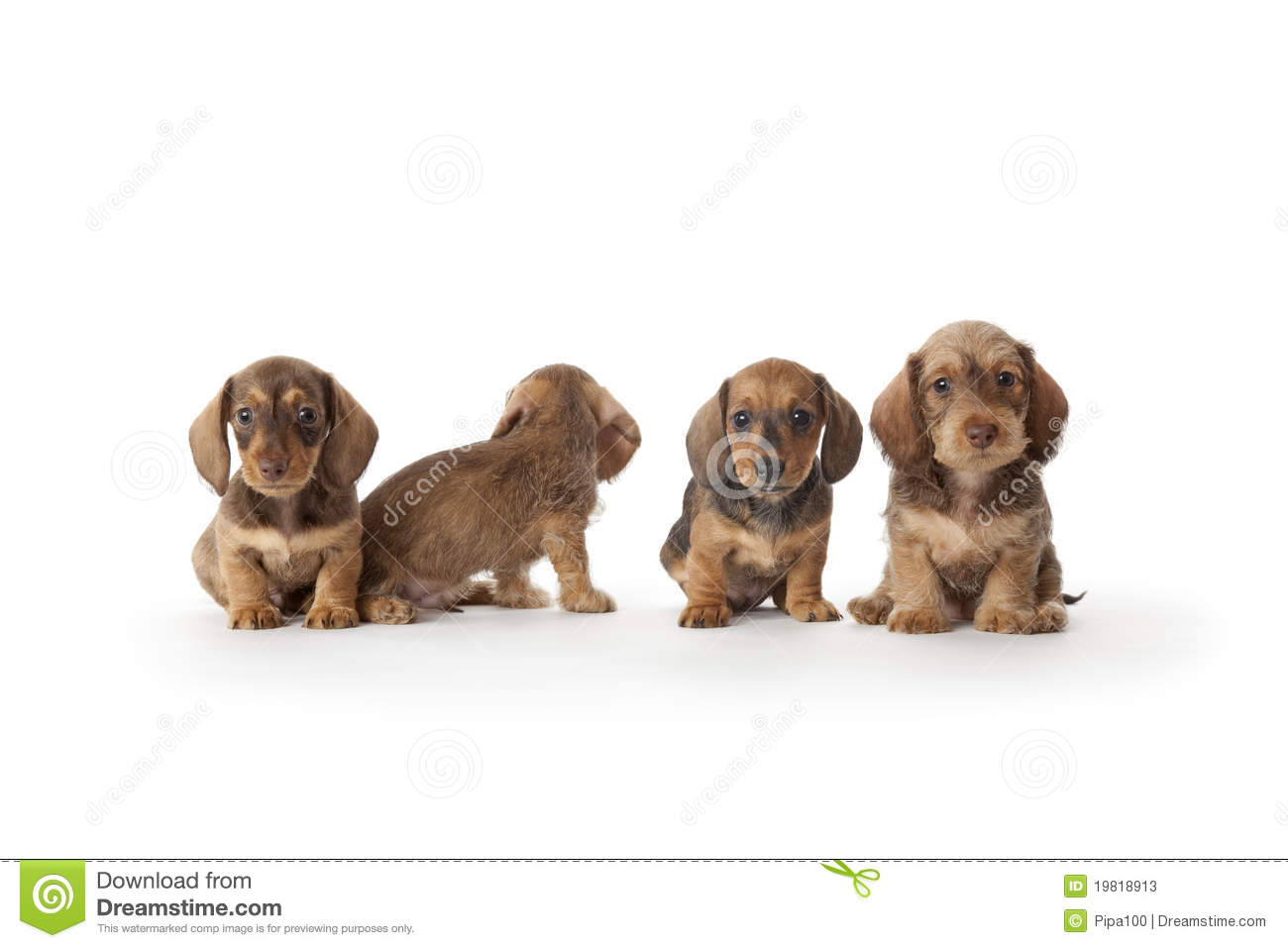 Four Wire-haired Dachshund Puppies Stock Image - Image of wire ...