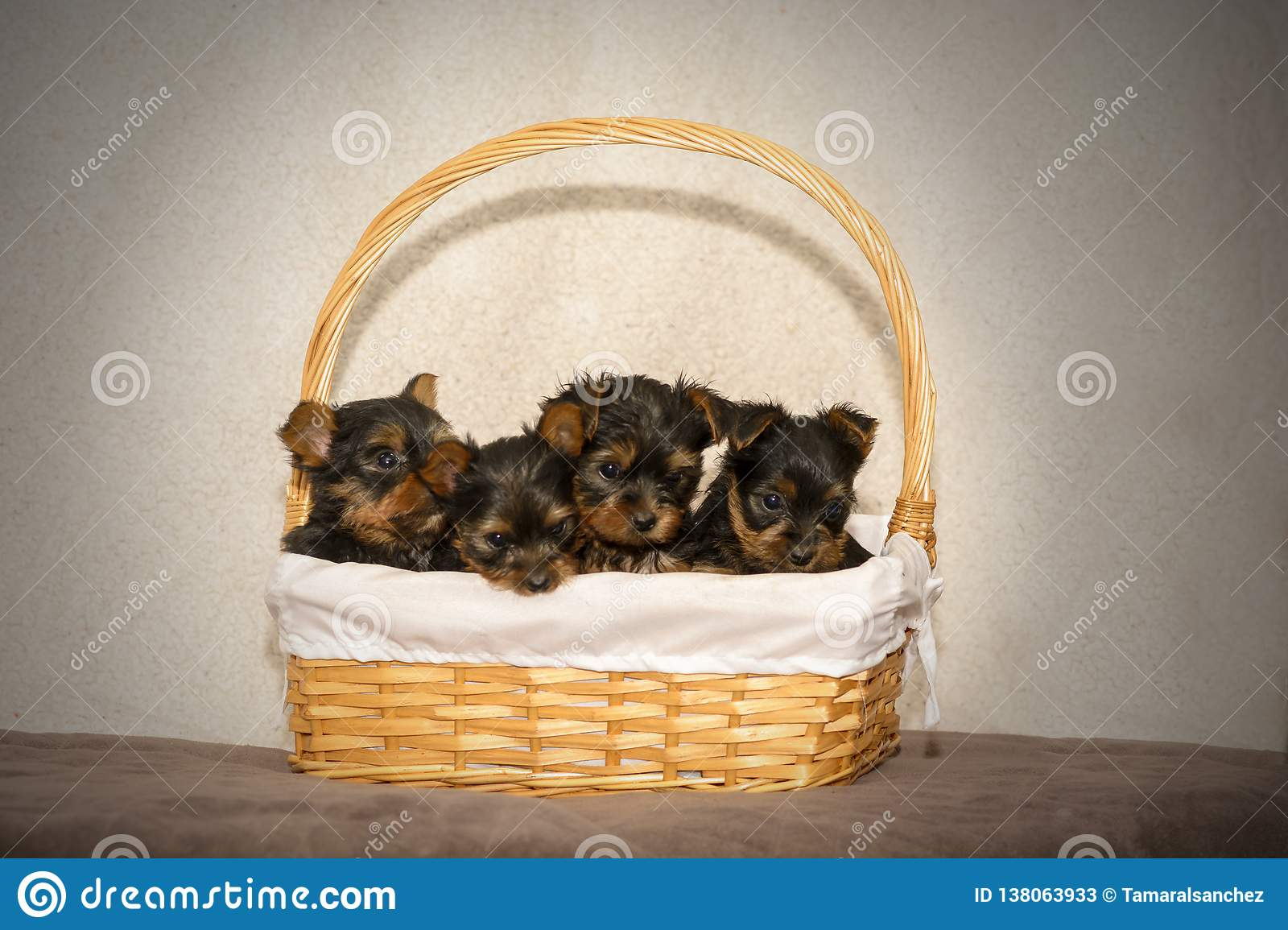 Four Yorkshire Terrier puppies in a wicket basket