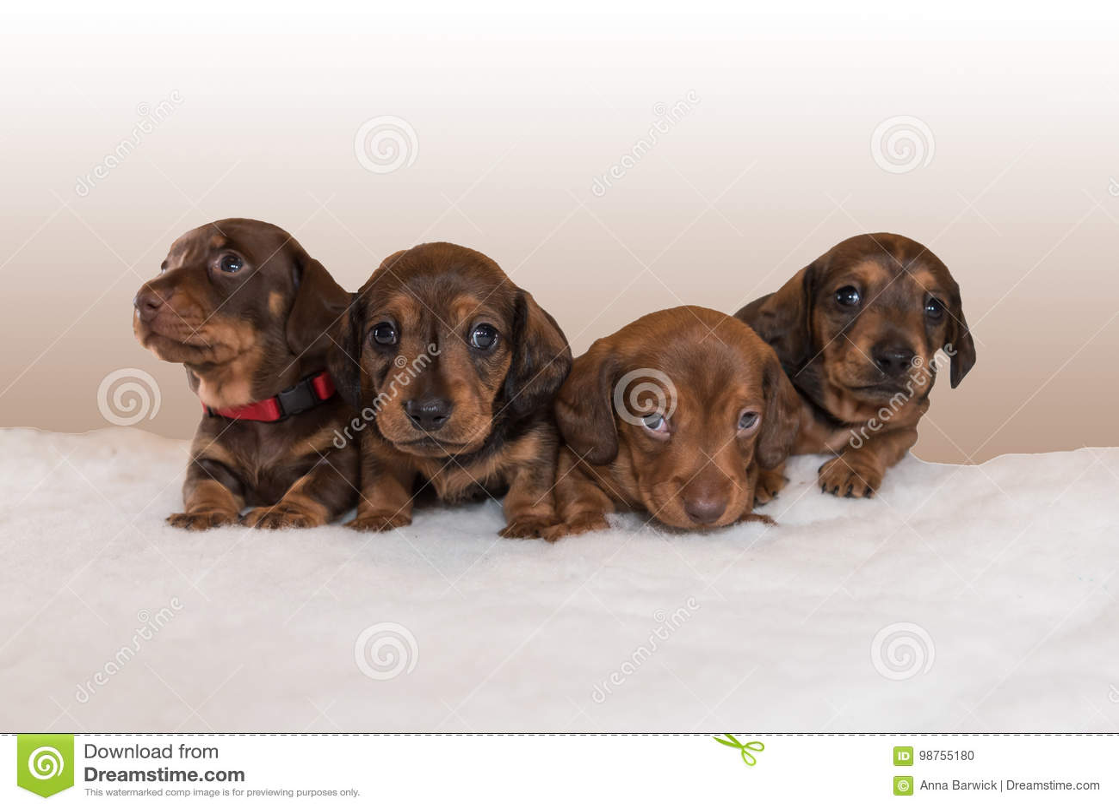 Miniature Dachshund Puppies On Fluffy White Blanket Stock
