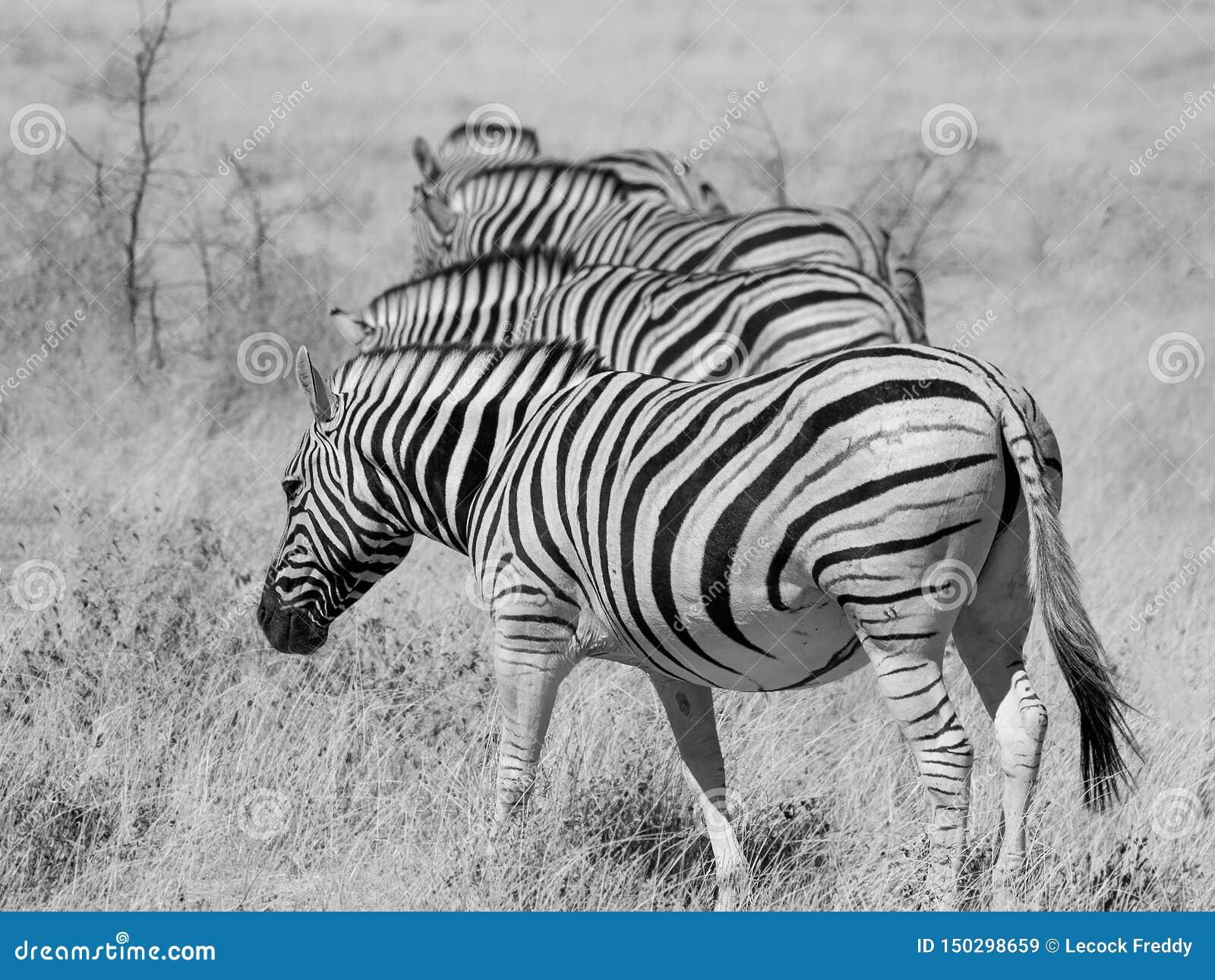 Four zebras in a row