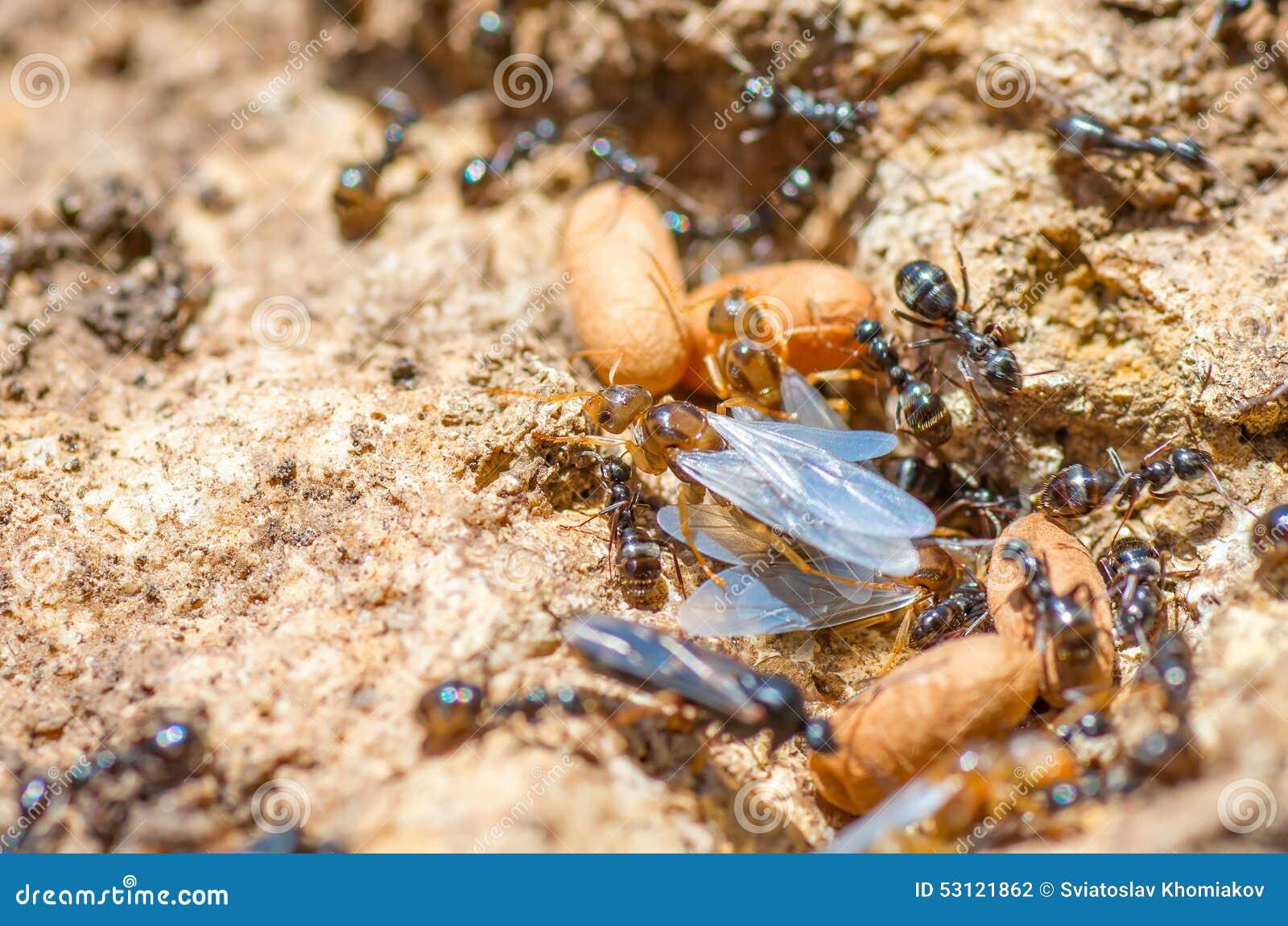 fourmi de reine rousse avec la fourmili re de ressort lame d 39 ailes photo stock image 53121862. Black Bedroom Furniture Sets. Home Design Ideas
