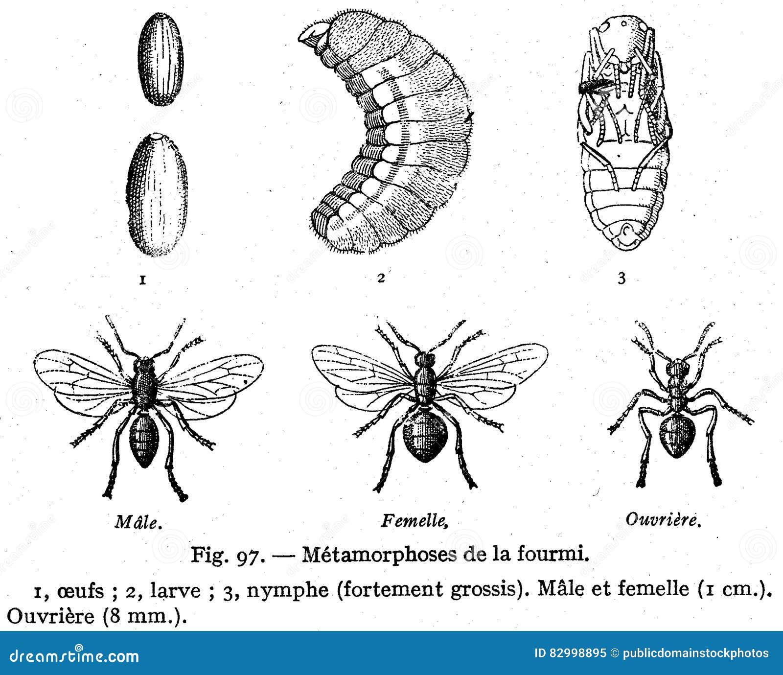 fourmi-métamorphose