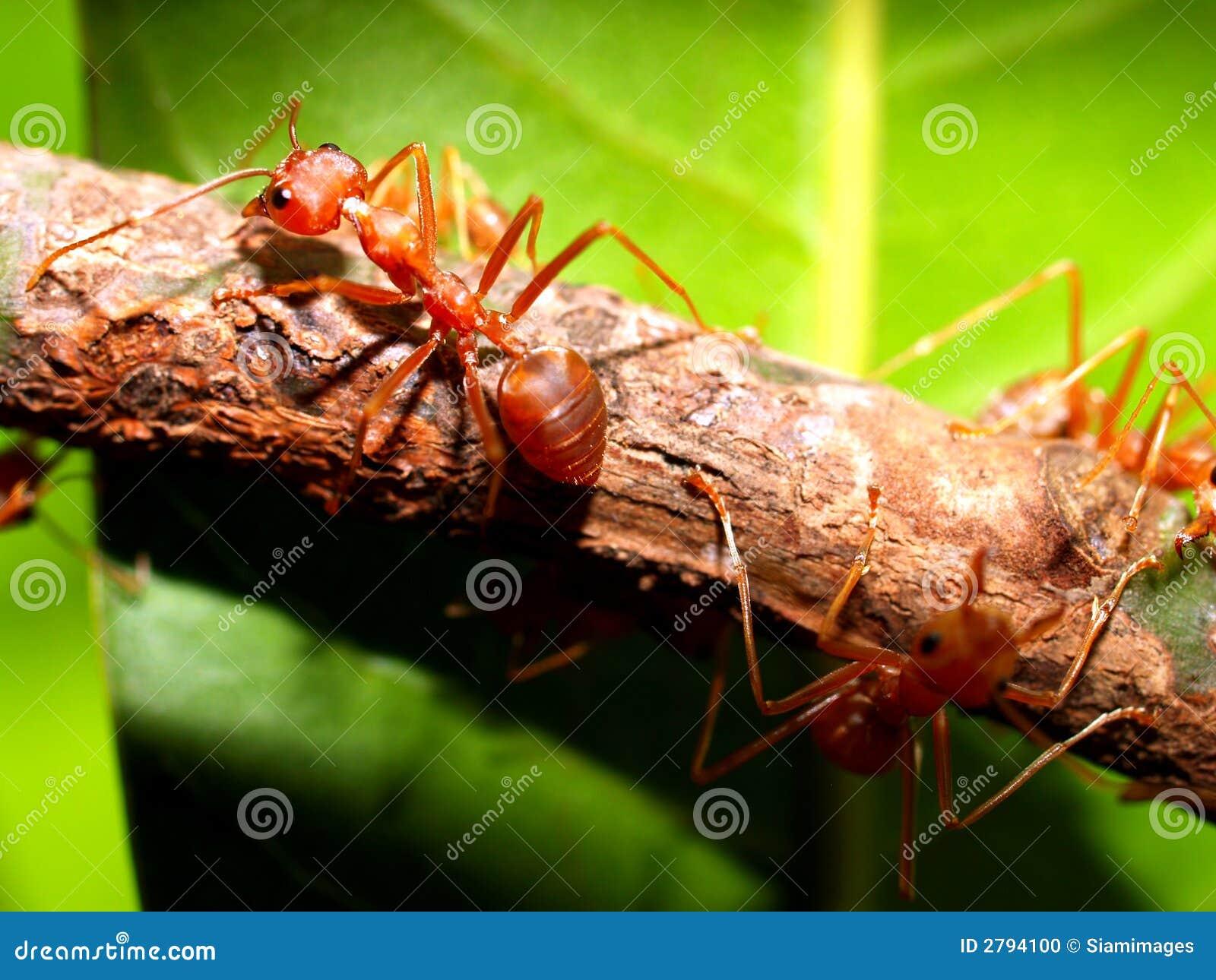 Fourmi rouge photo stock image du marche blanc fourmi 2794100 - Fourmi rouge et tamanoir ...