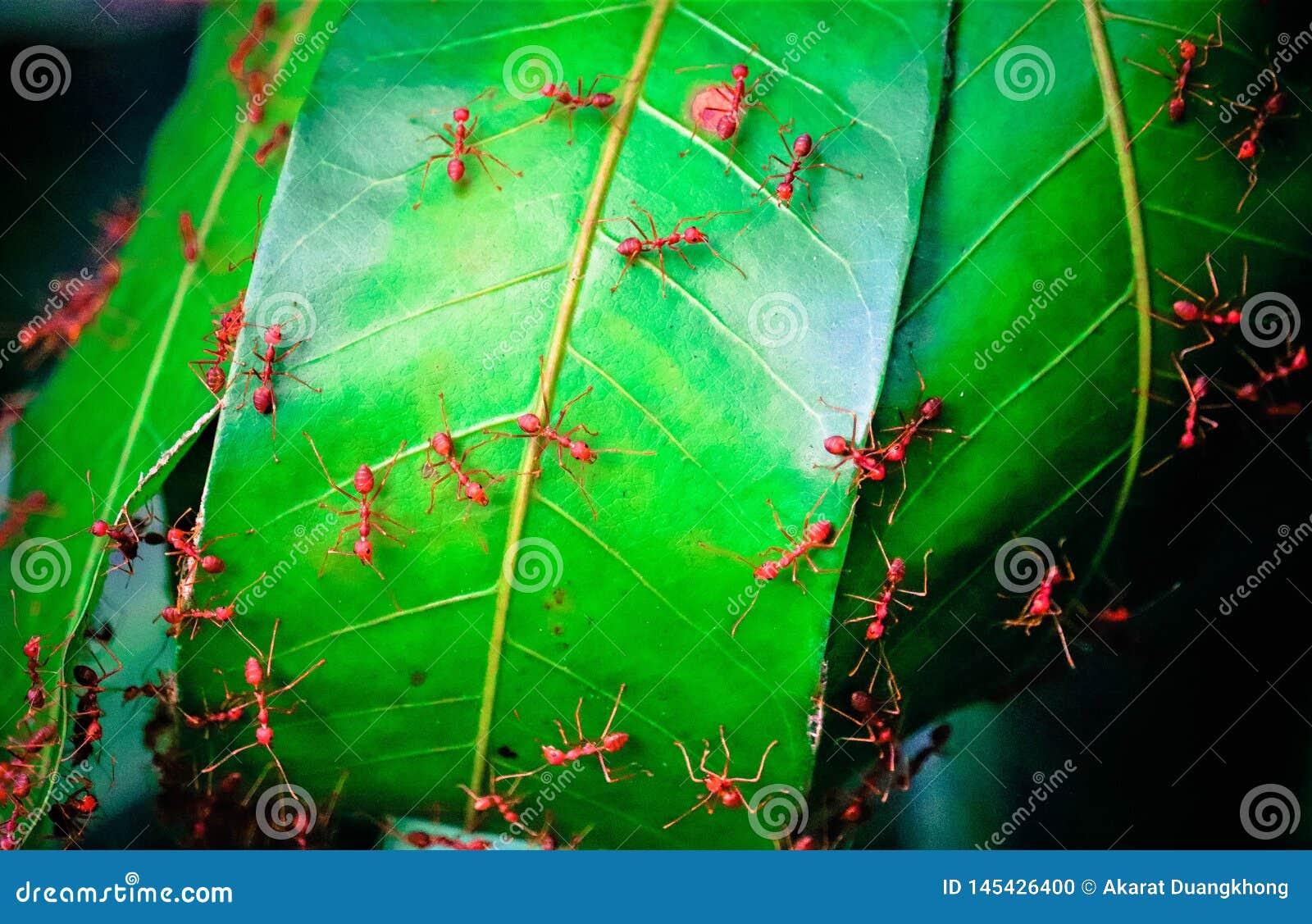 Fourmi rouge et feaves verts