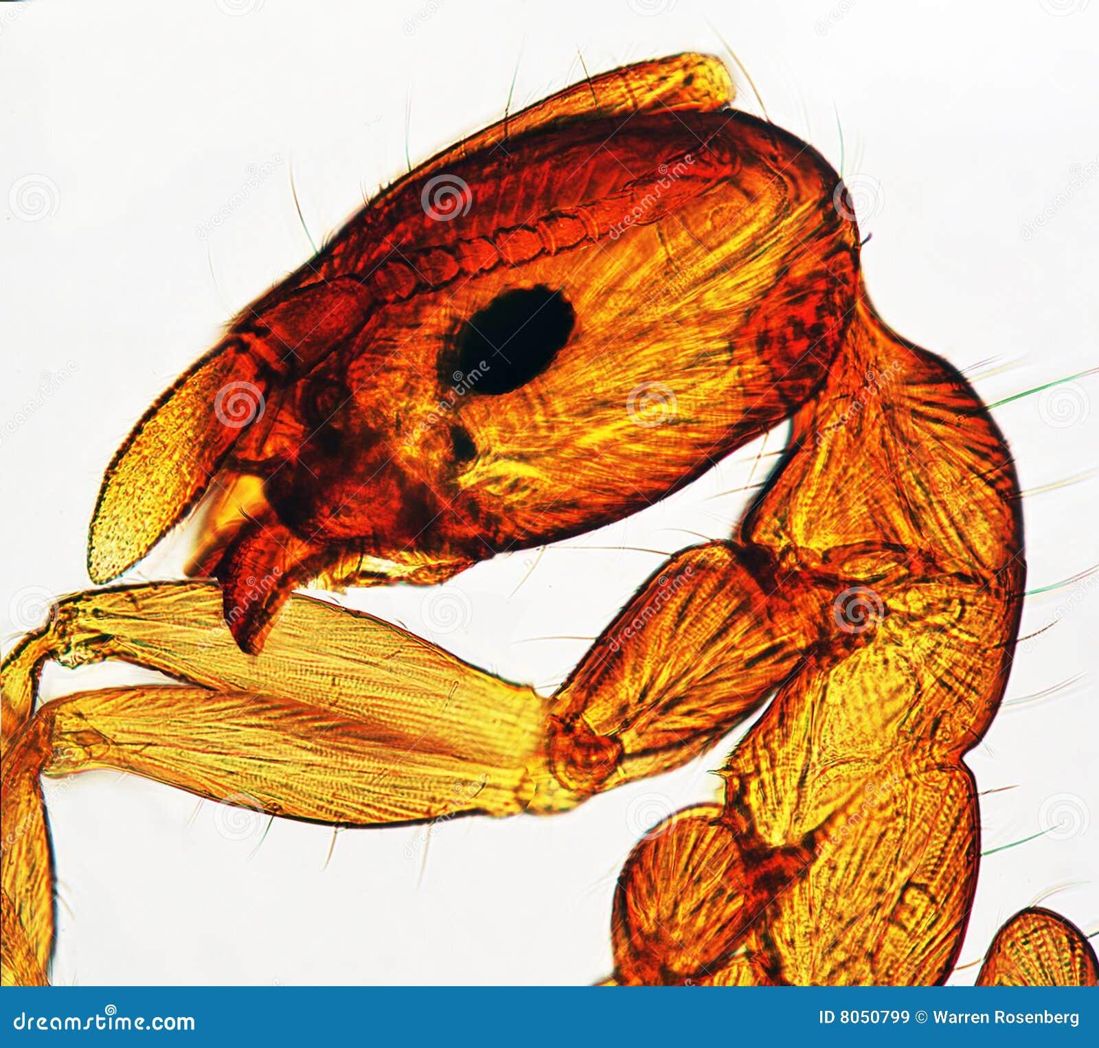 Fourmi visualisée à Microscope