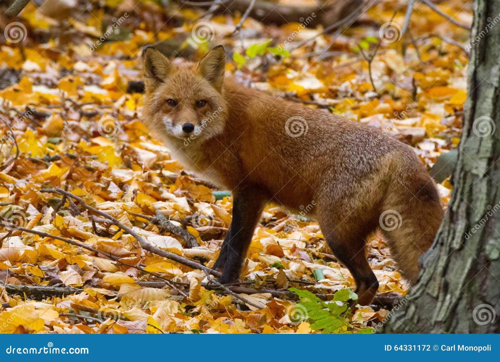 Fox на густолиственном уклоне
