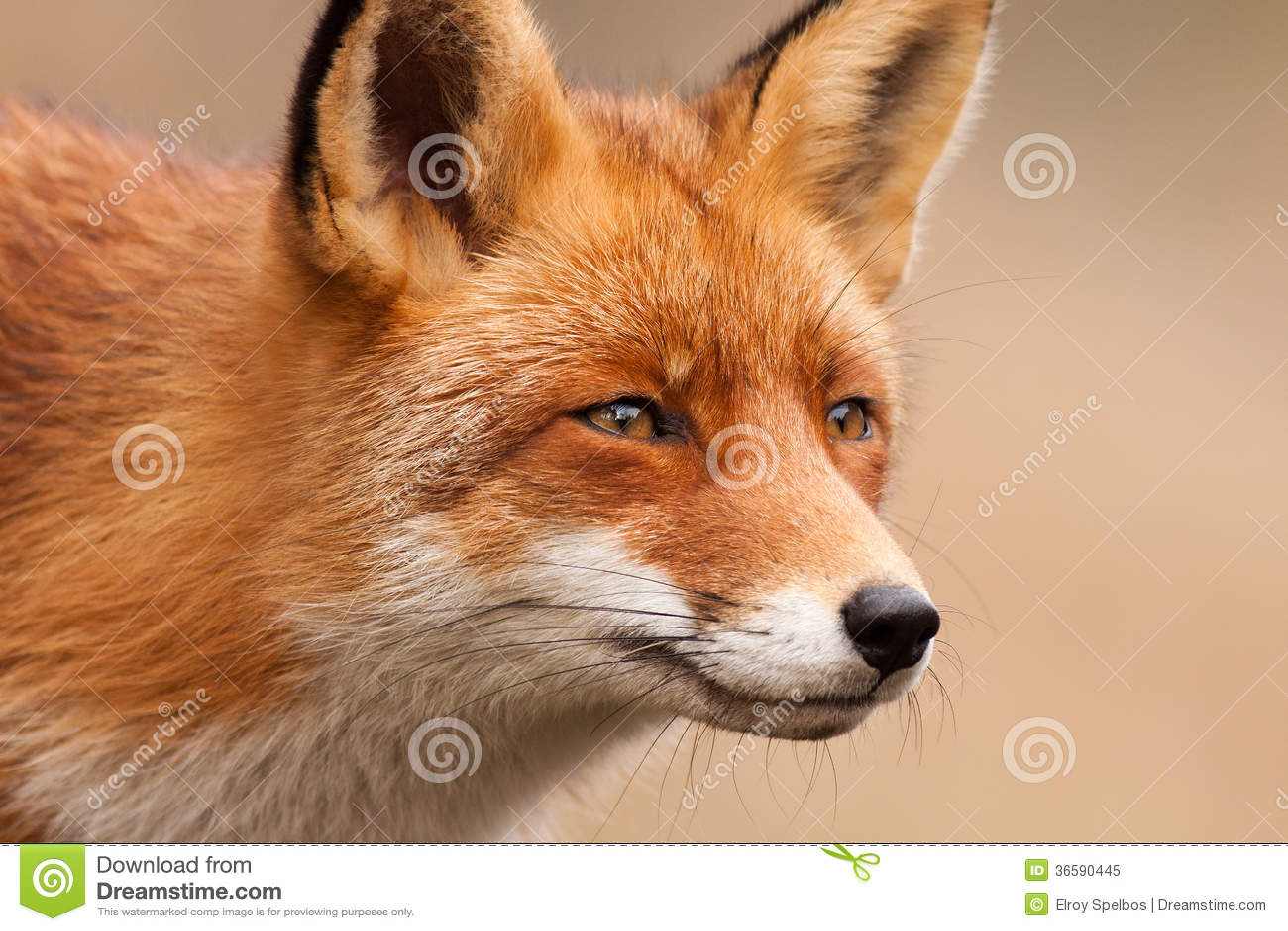 Fox画象