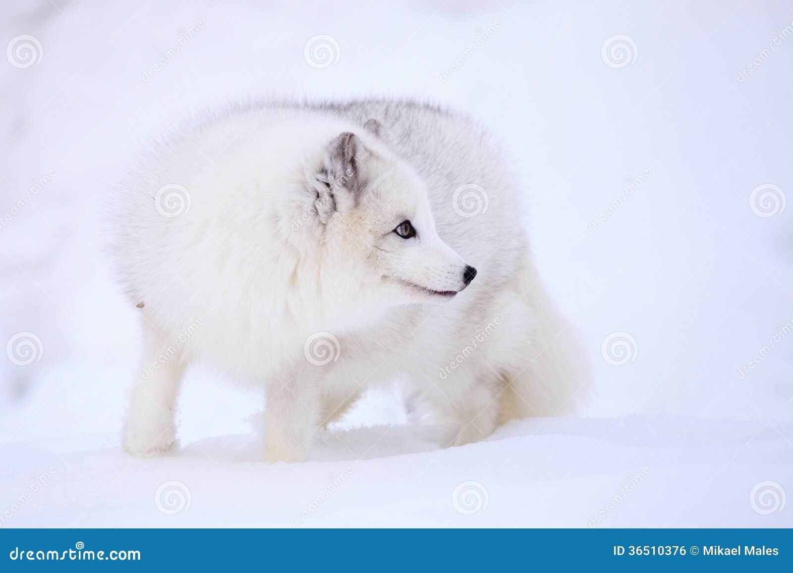 Fox arctique étant curieux