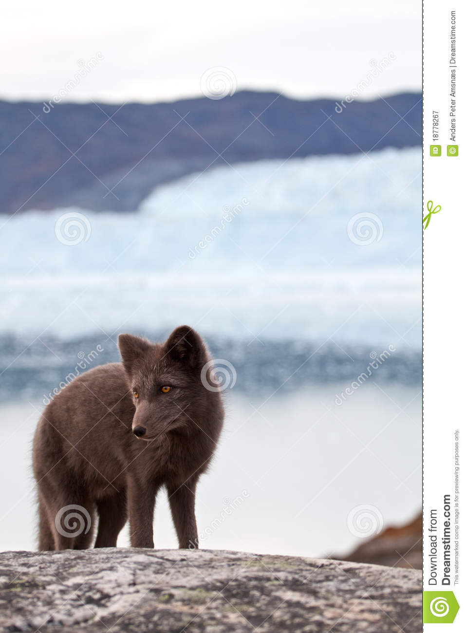 Fox arctique
