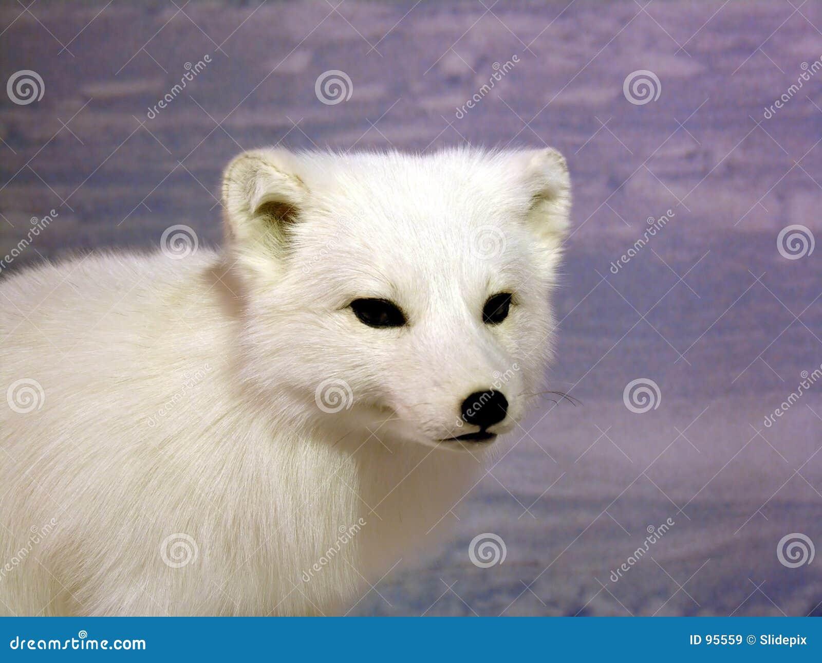 Fox arctique