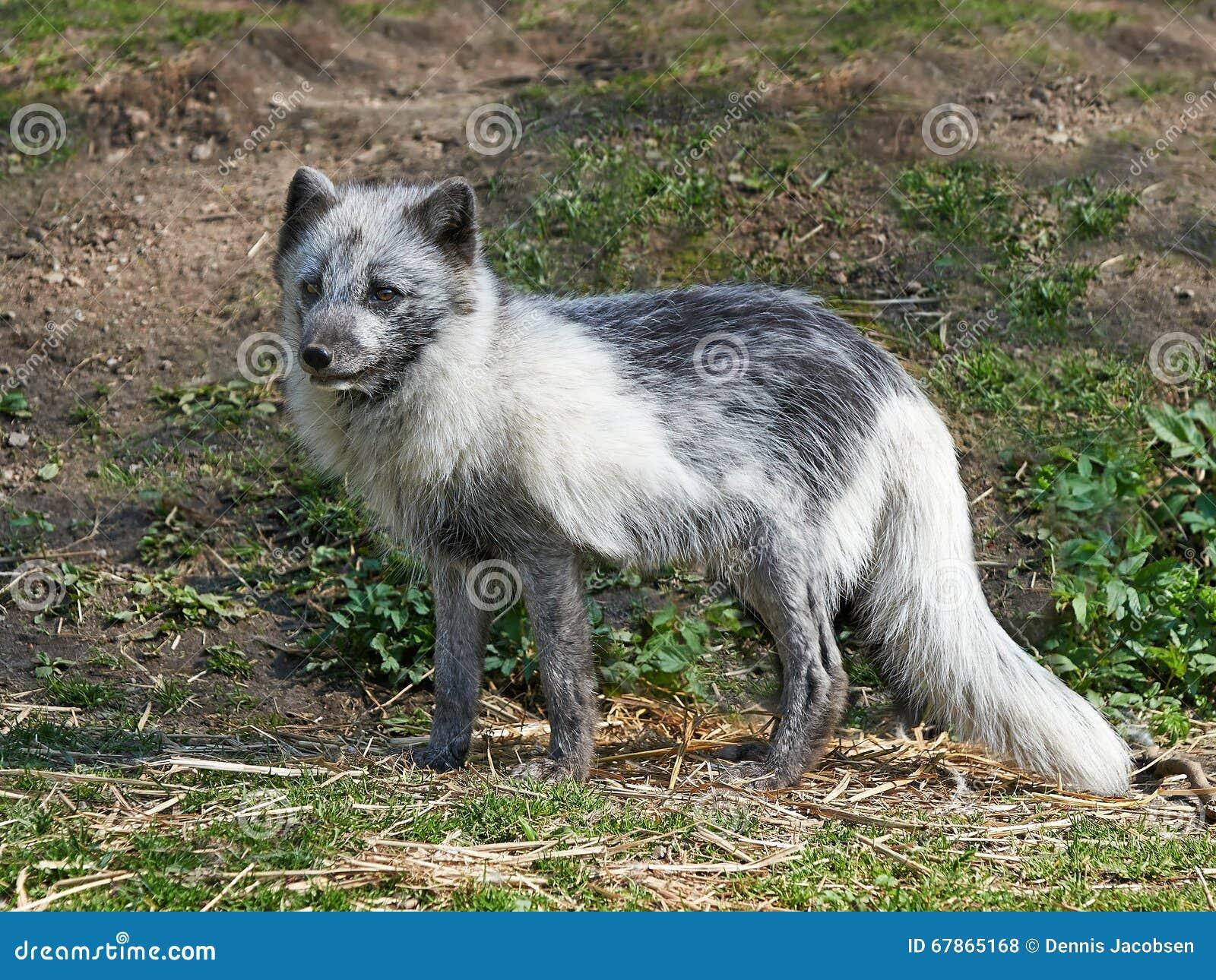 Fox arctique (Lagopus d Alopex)