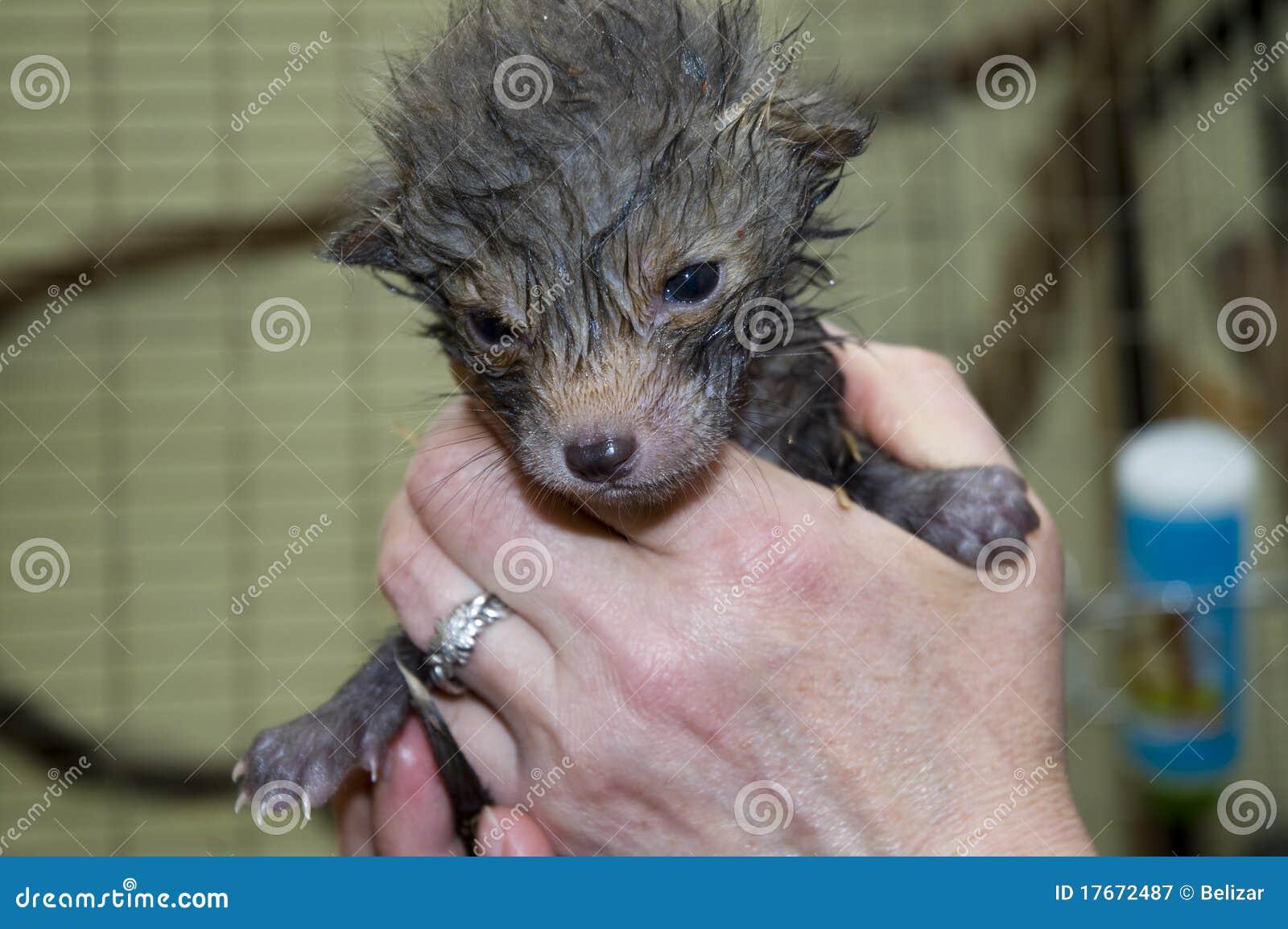 Fox baby in hand (Vulpes vulpes)