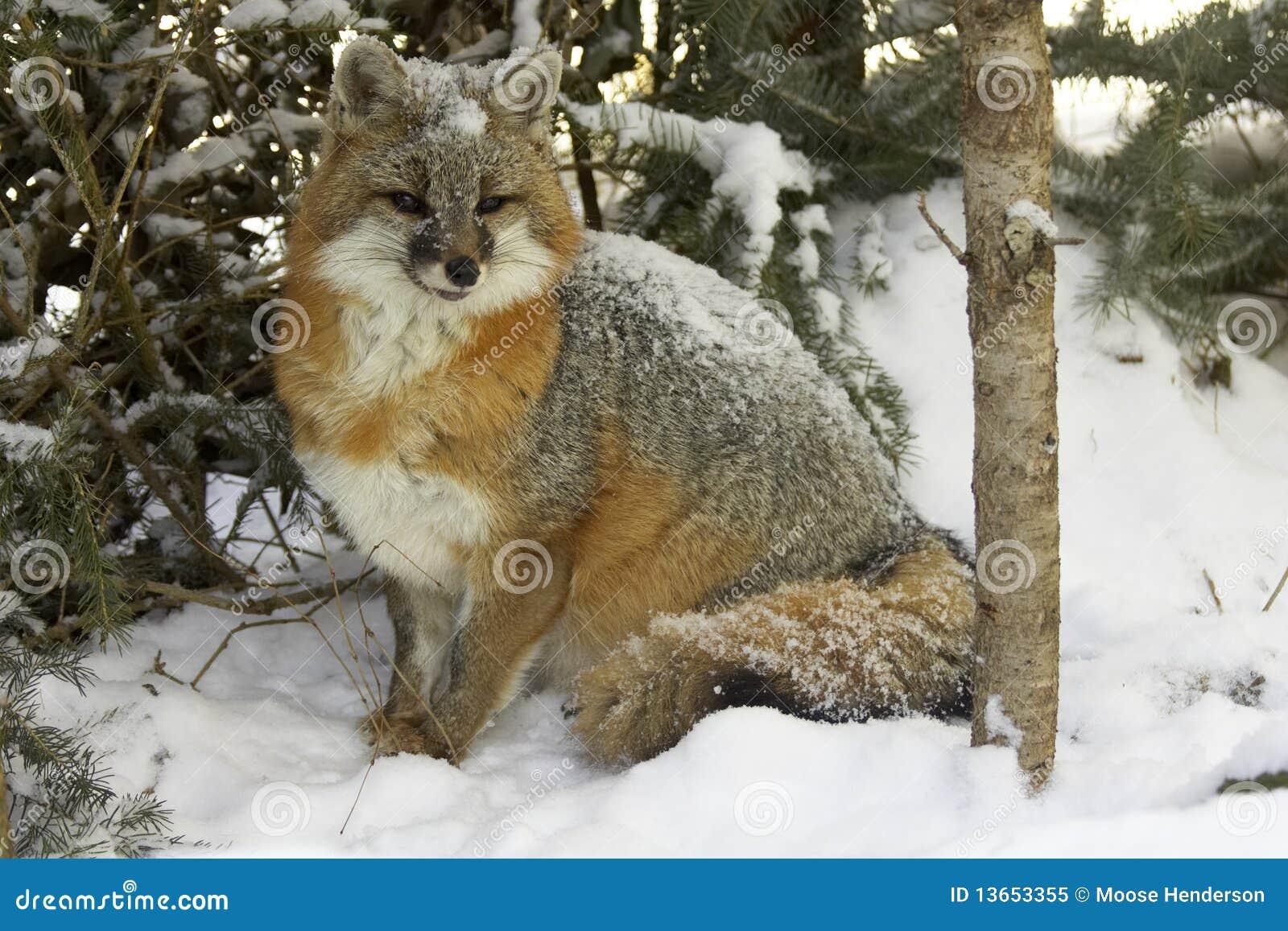 Fox cinzento