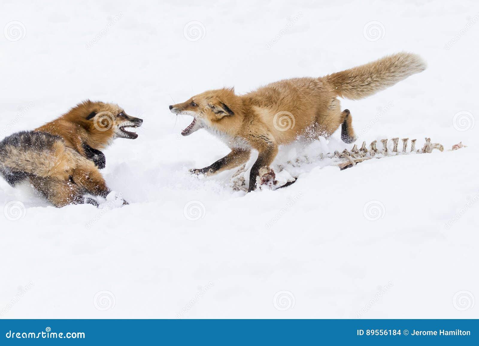 Fox czerwień śnieg