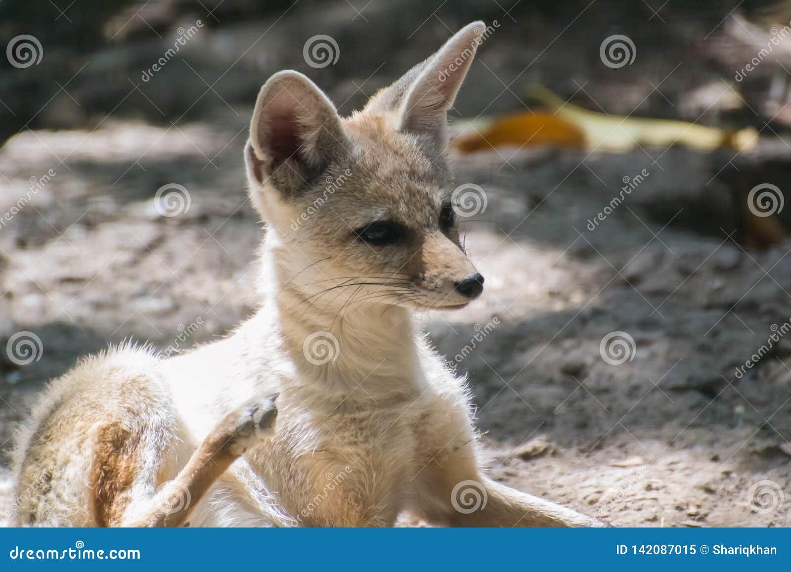 Fox d Indien ou du Bengale