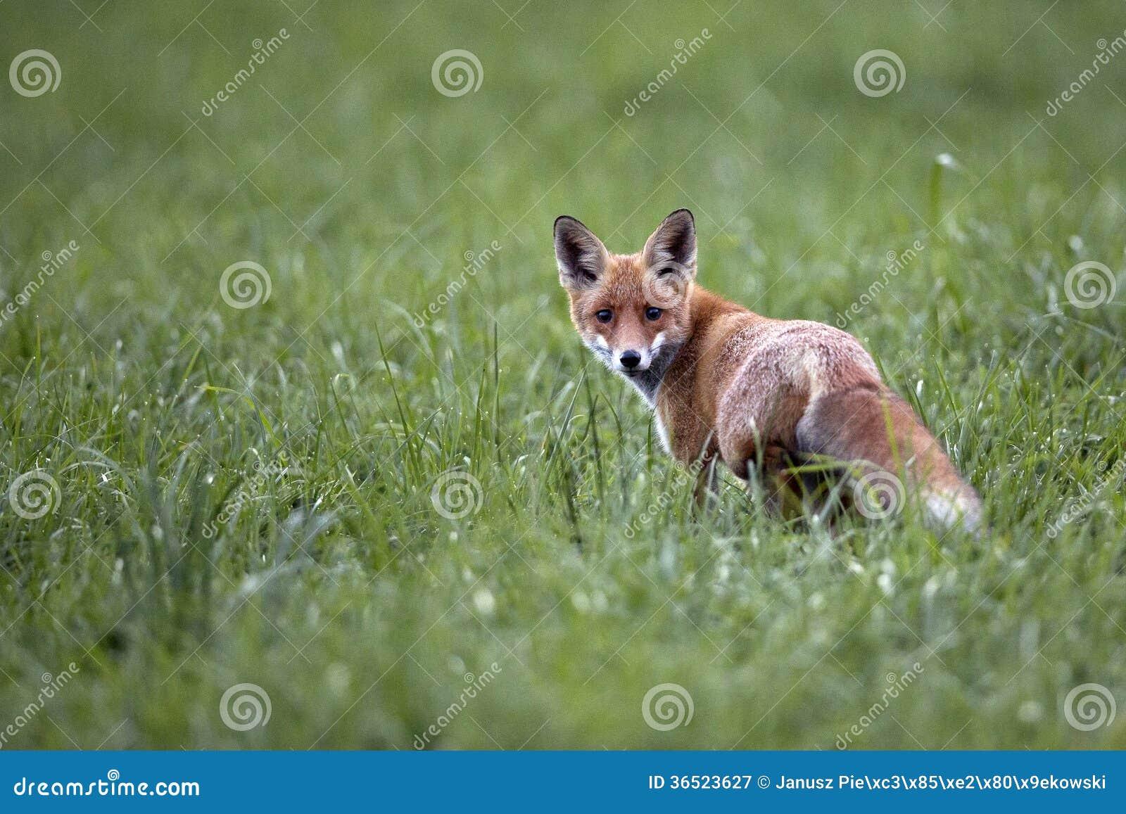 Fox dans le sauvage
