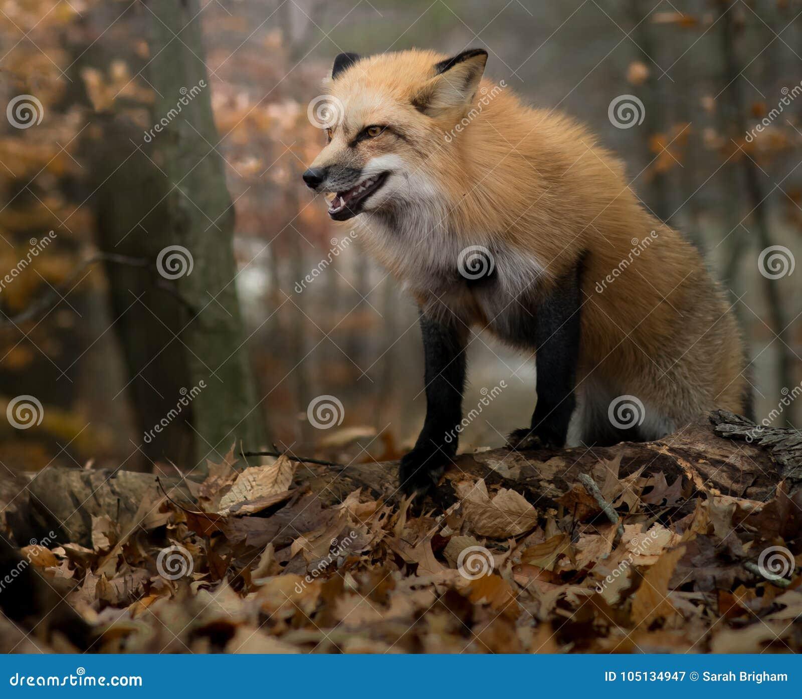 Fox de grondement en automne