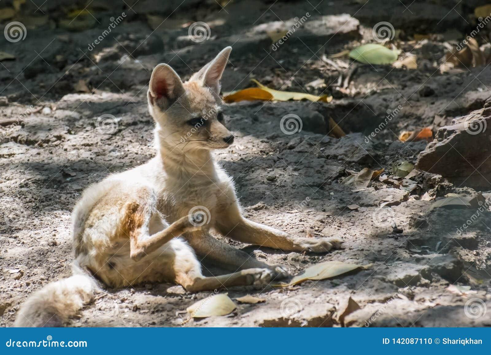 Fox del Bengala o dell indiano