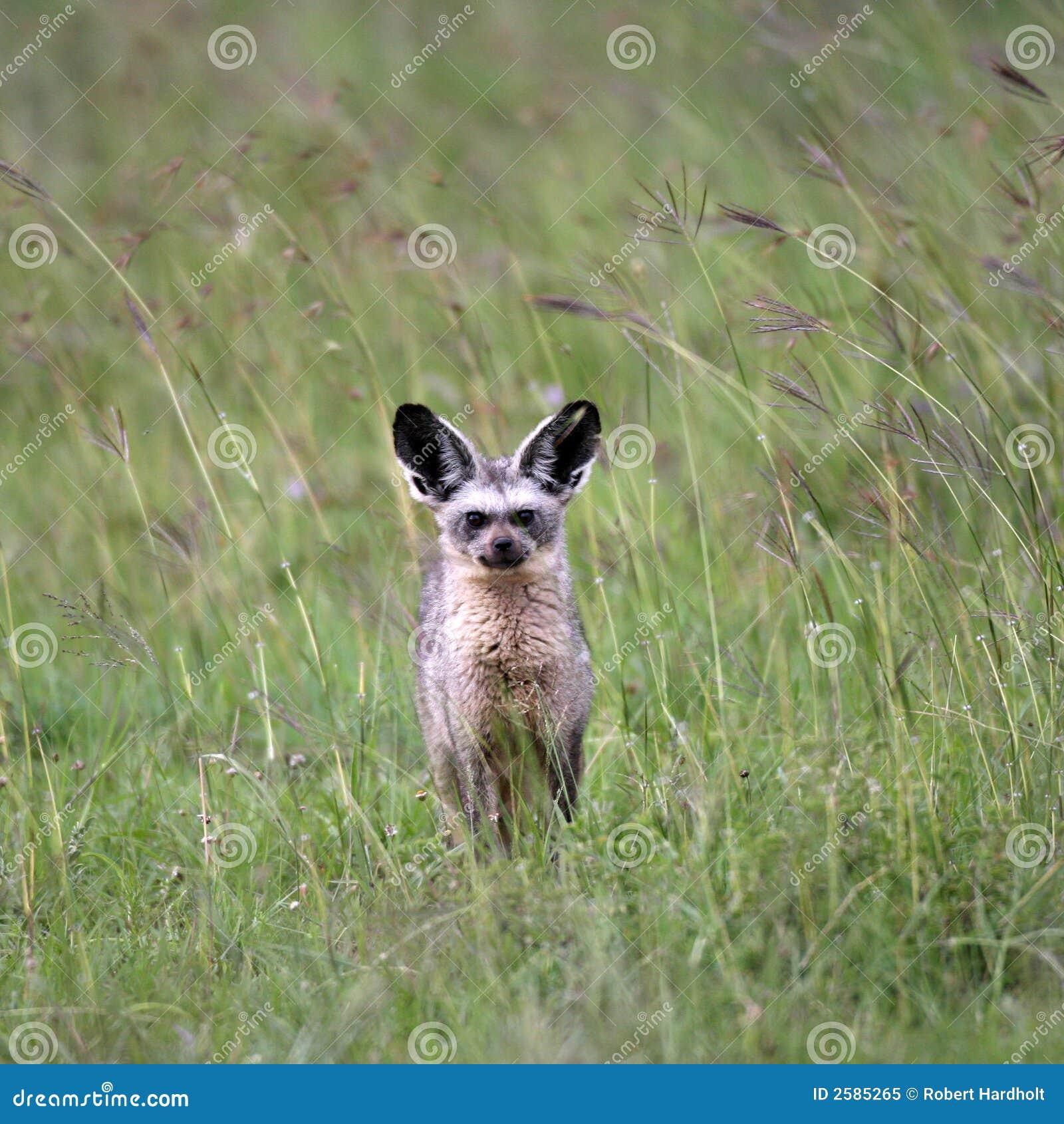 Fox Eared del blocco