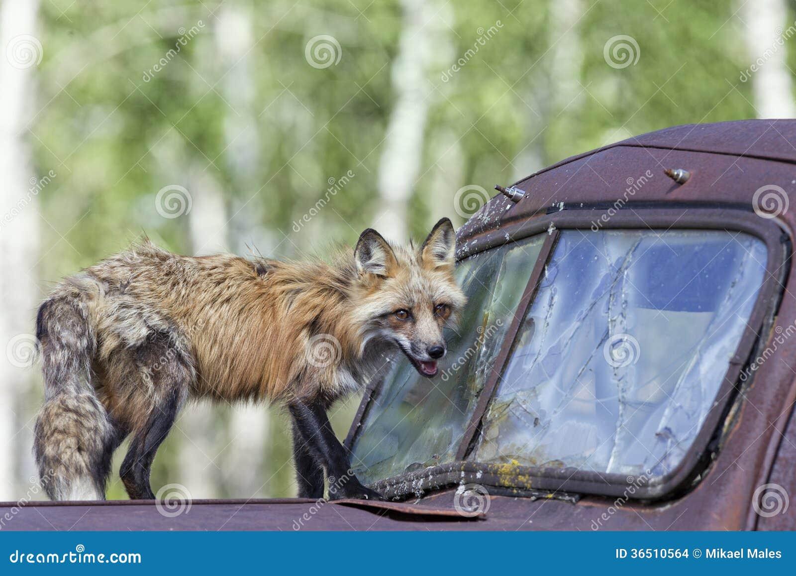 Fox et chien