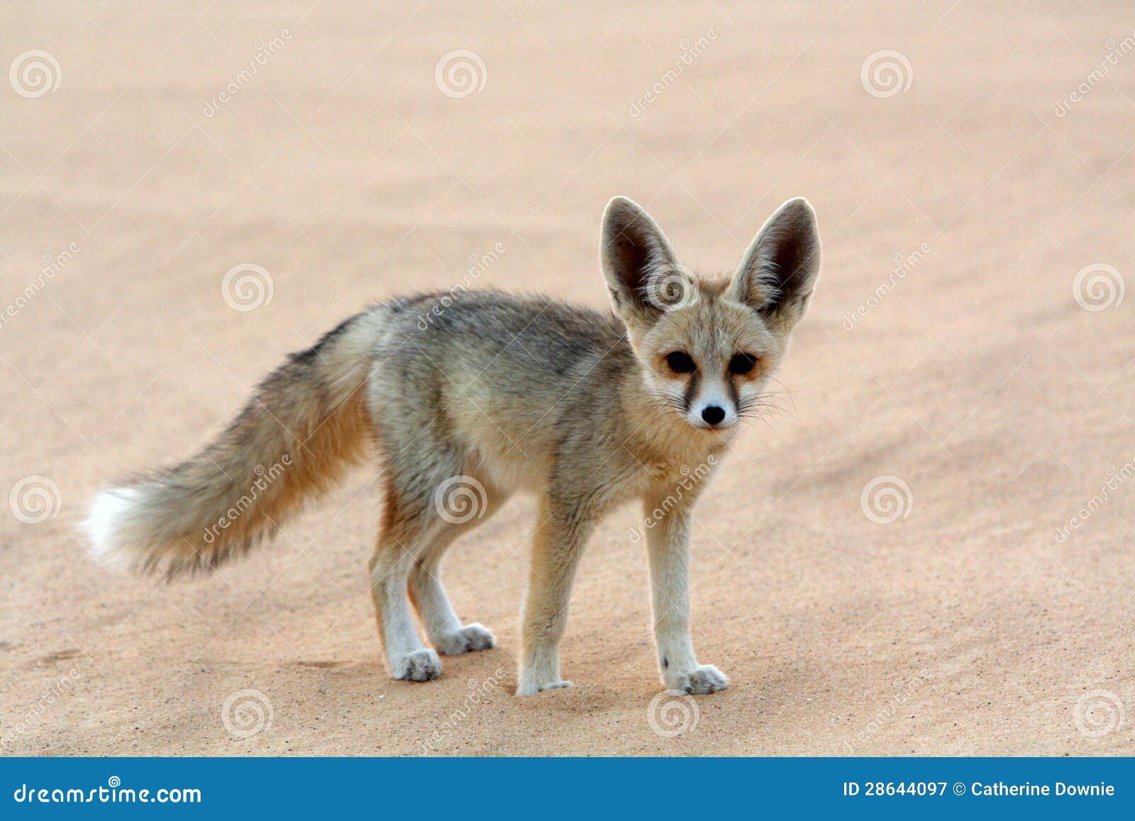 Fox Fennec в белой пустыне