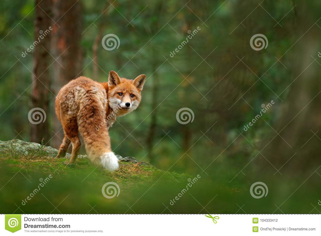 Fox in green forest. Cute Red Fox, Vulpes vulpes, at forest with flowers, moss stone. Wildlife scene from nature. Animal in nature