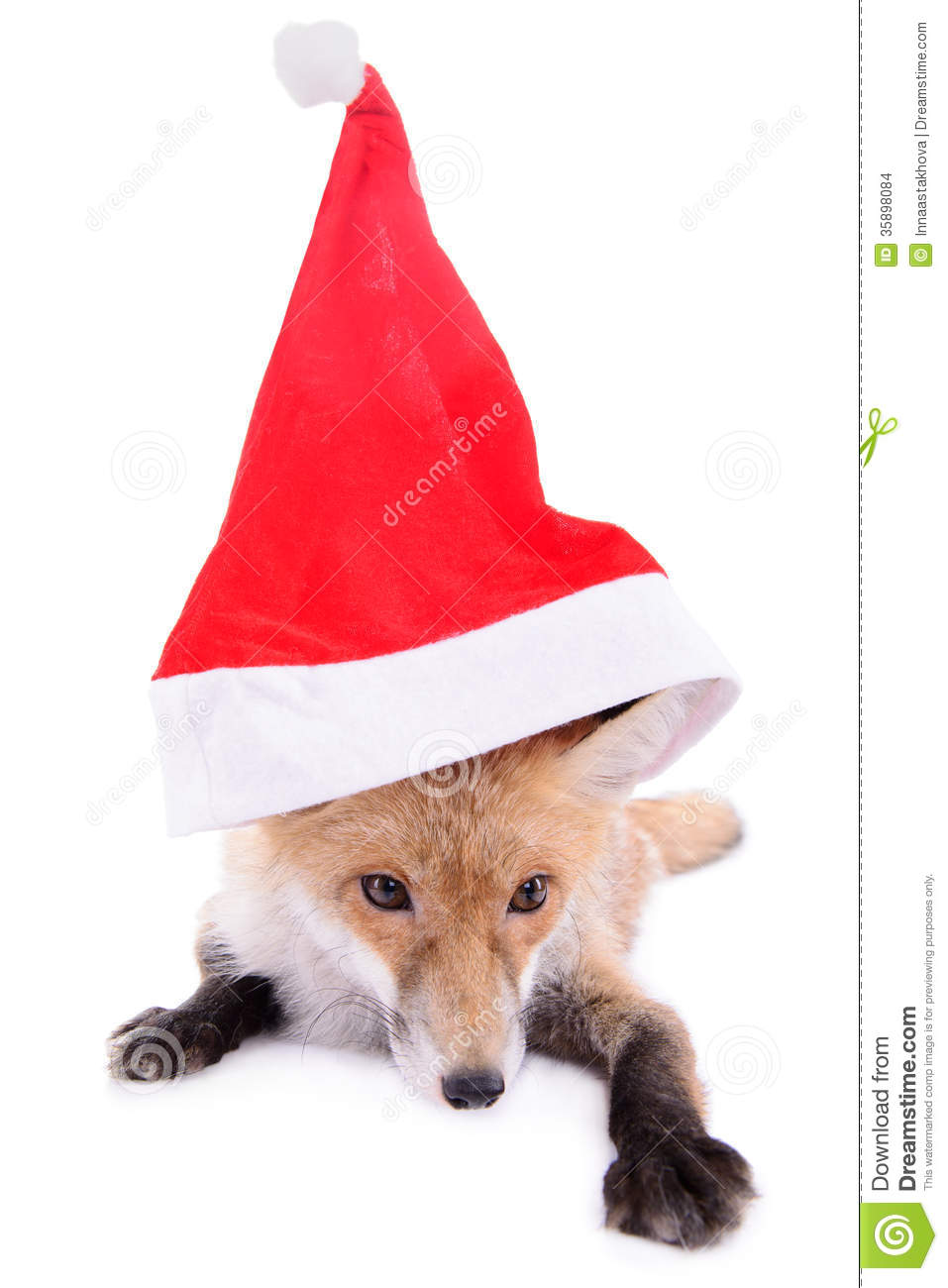 Fox with a hat new year or christmas animal isolated on white - Animal Christmas Fox Hat Isolated New Red White Year