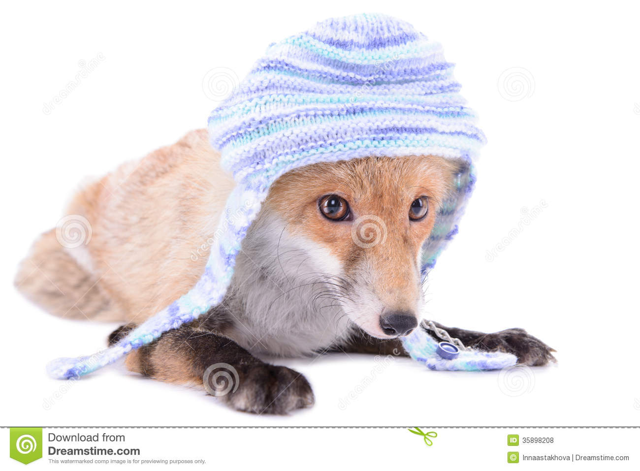 Fox with a hat new year or christmas animal isolated on white - Fox With Hat Royalty Free Stock Photos