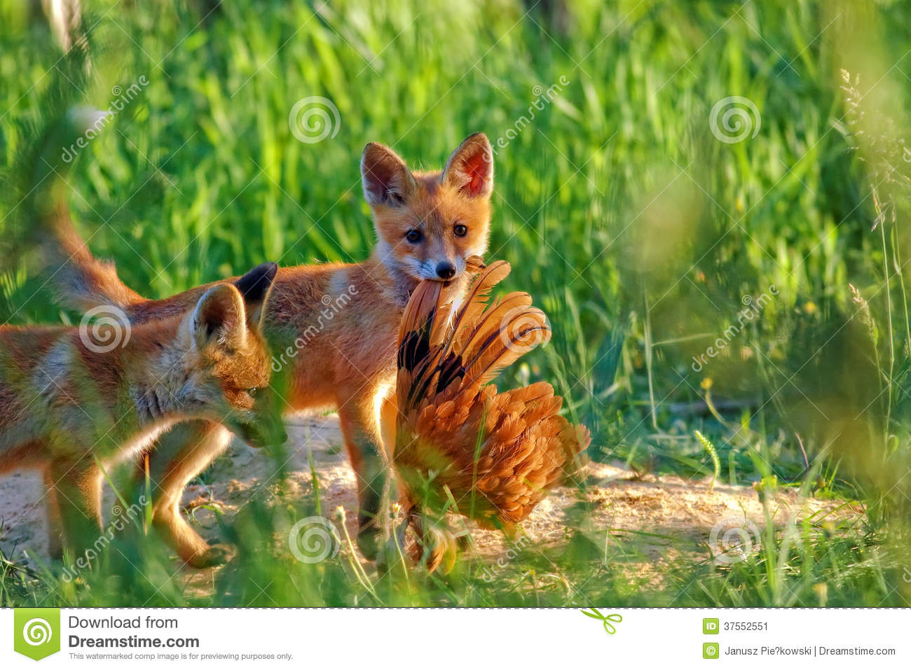 Fox hunting in the clearing
