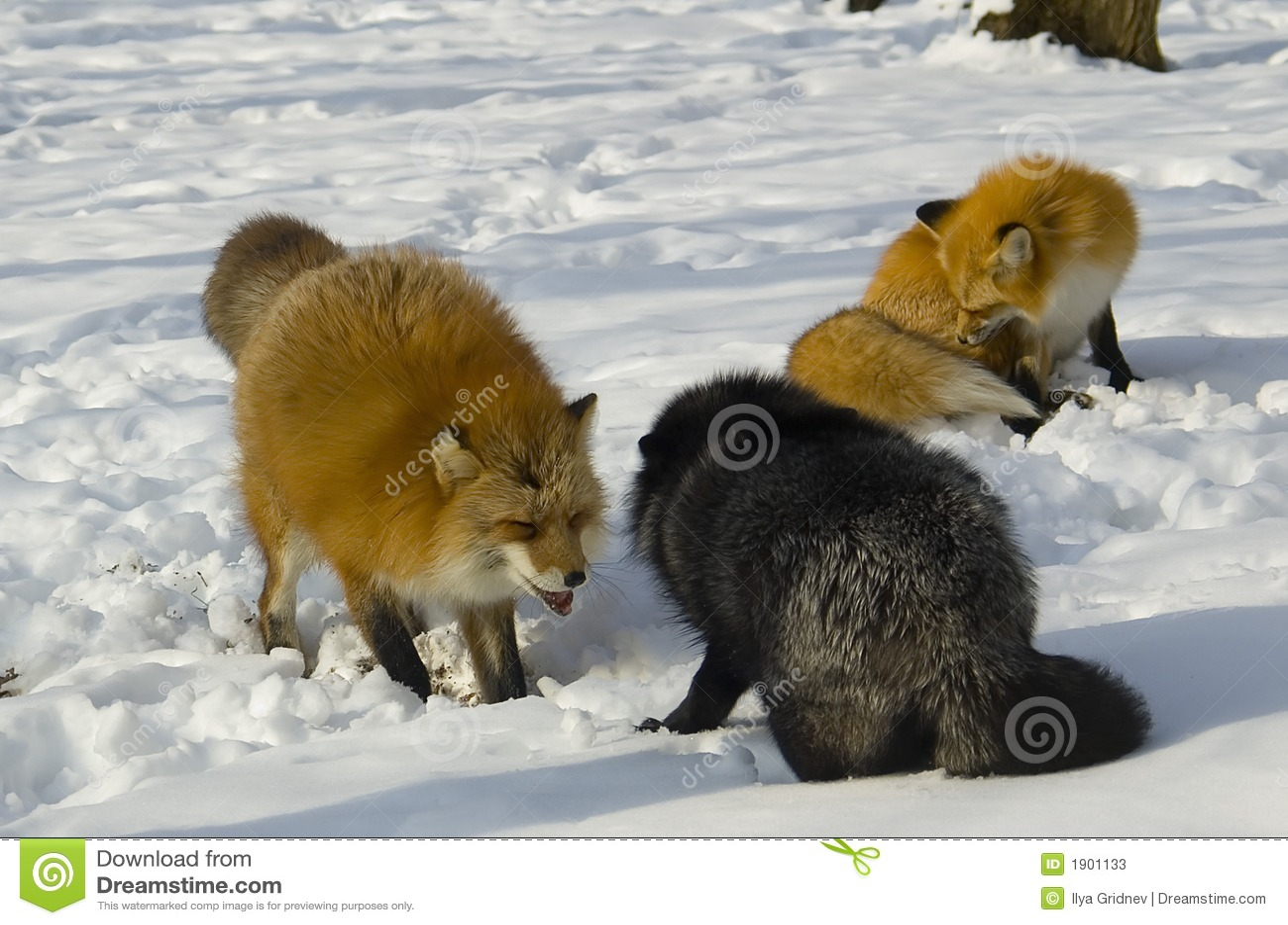 Fox im Winter