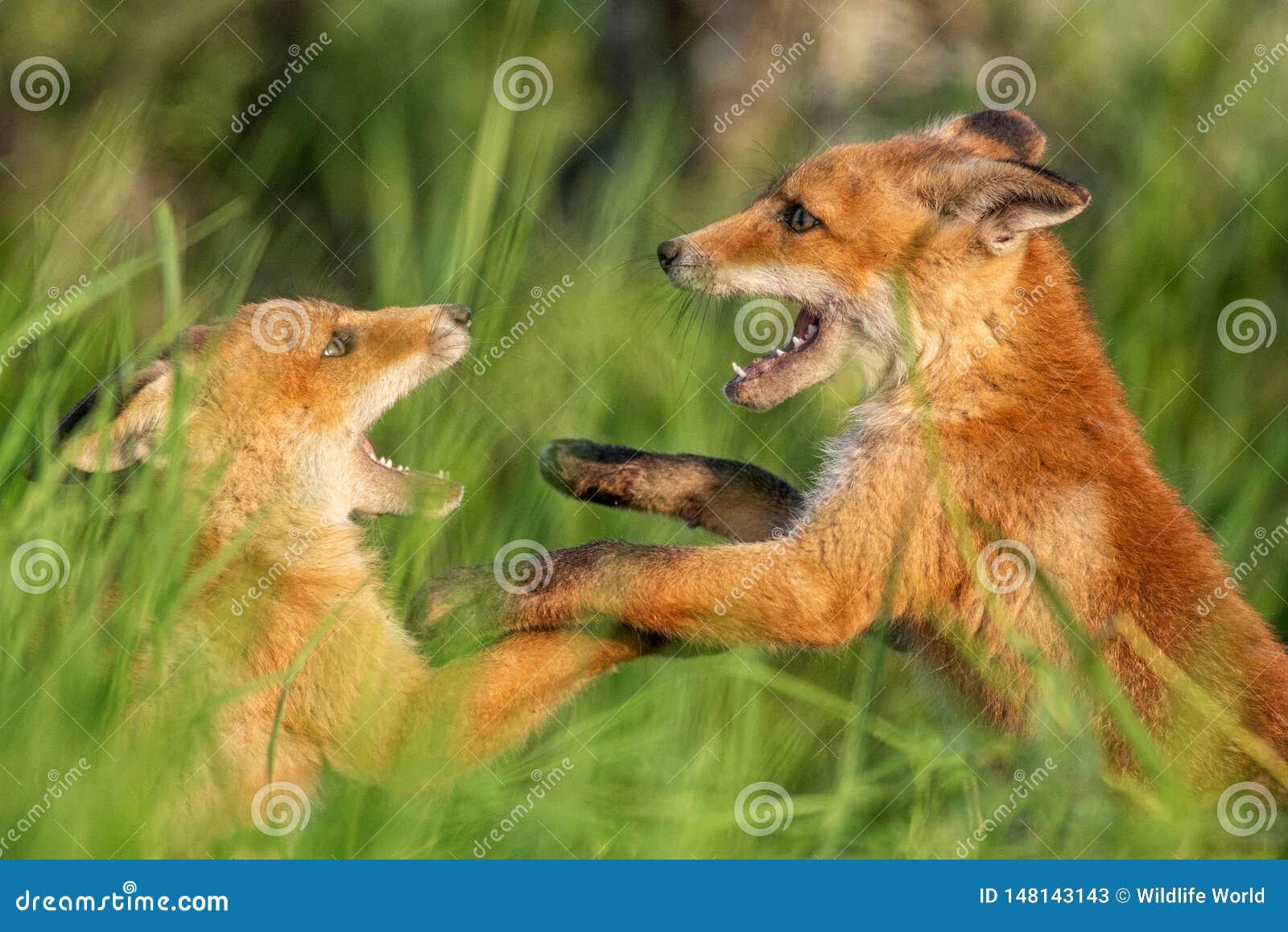 Fox-Junge Zwei junge rote Füchse, die im Gras spielen