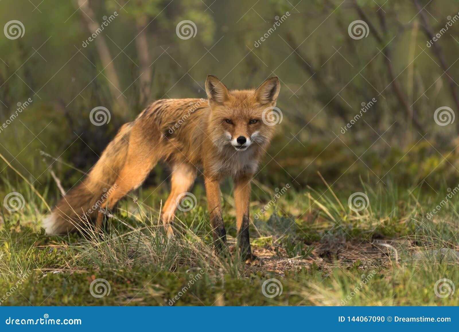 Fox louchant dans le soleil
