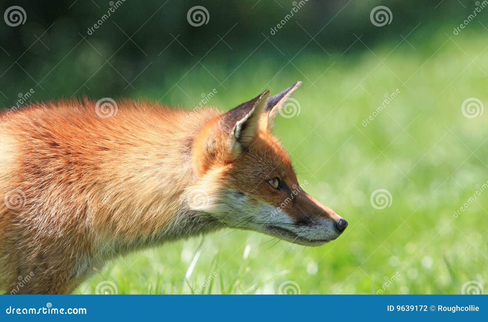 Fox manhoso
