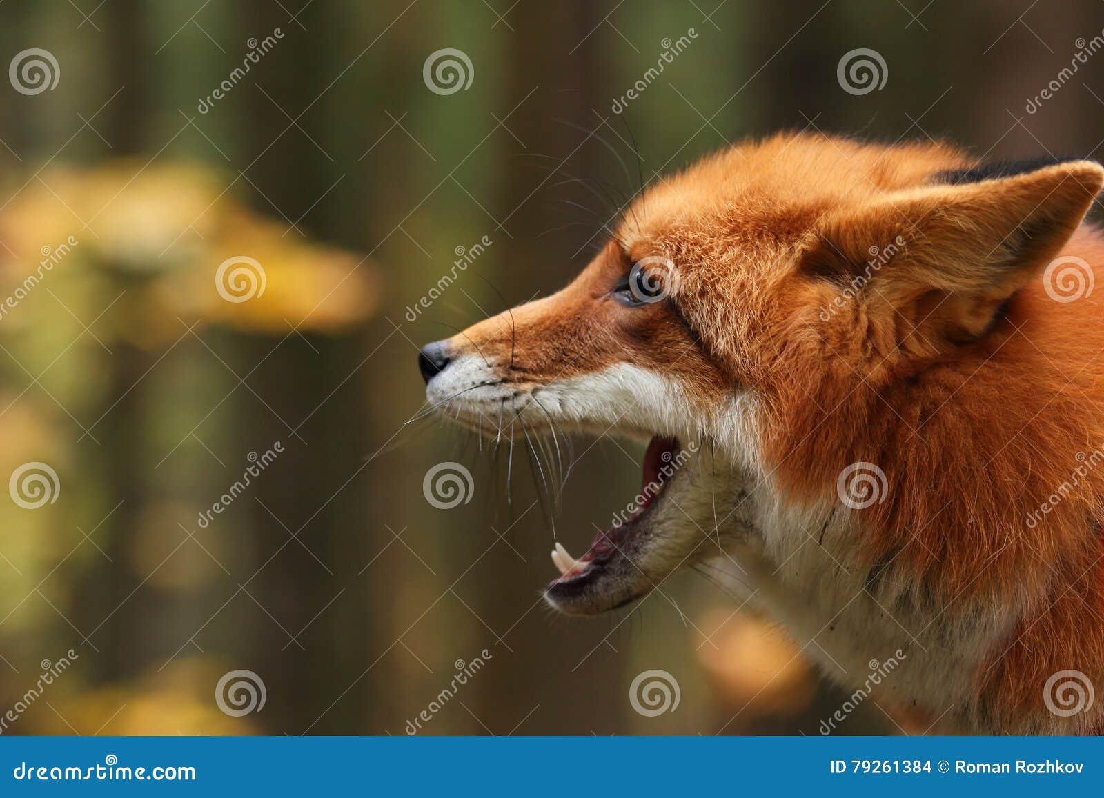 Fox na floresta do outono