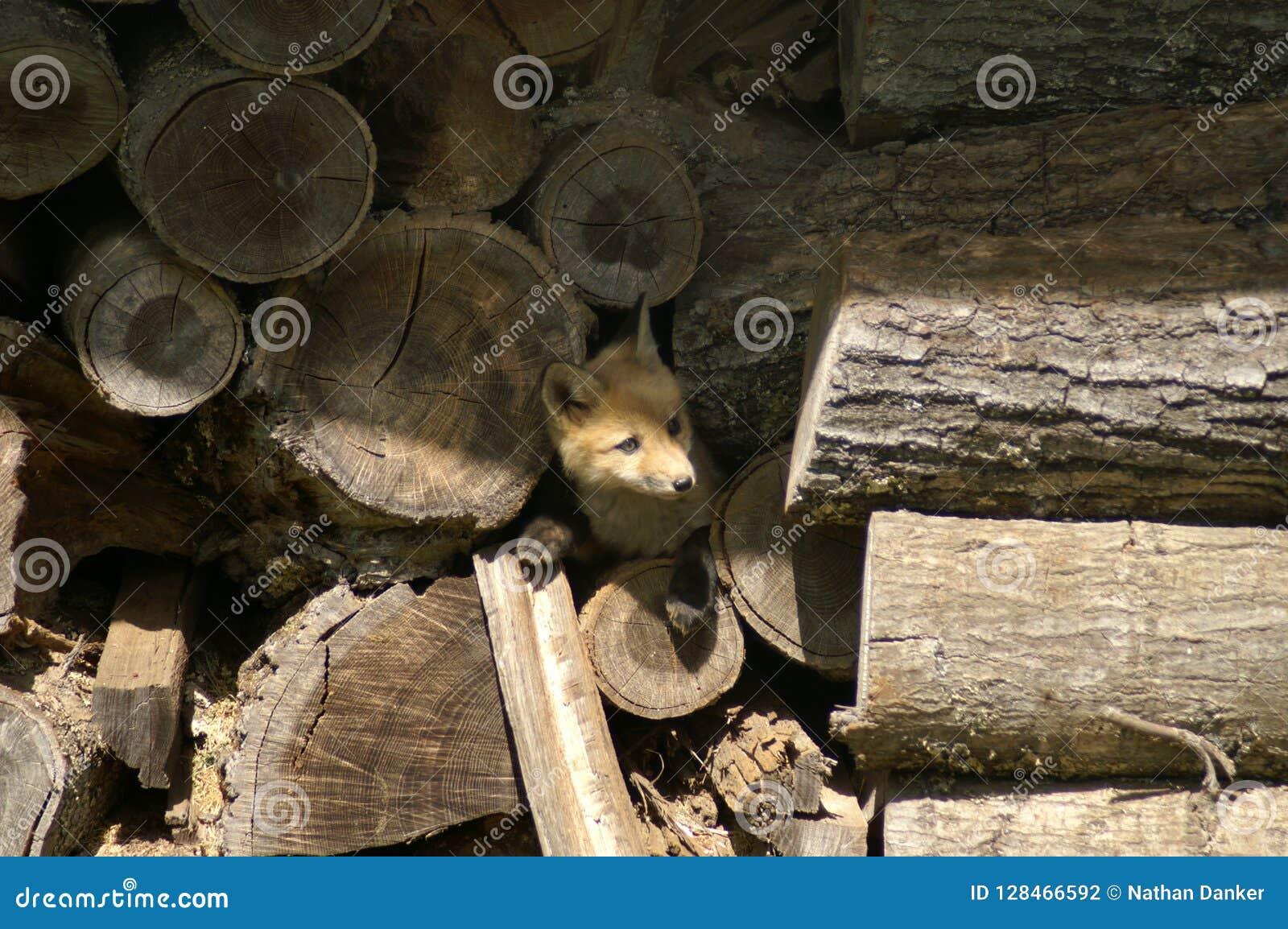 Fox na pilha de madeira