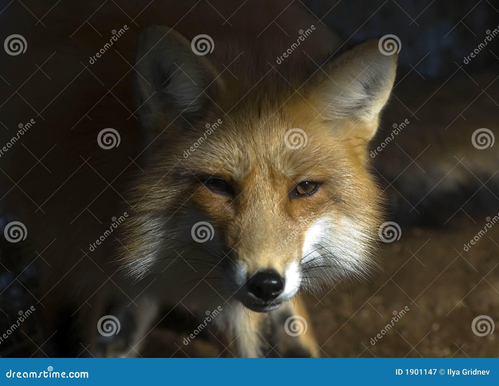 Fox no inverno