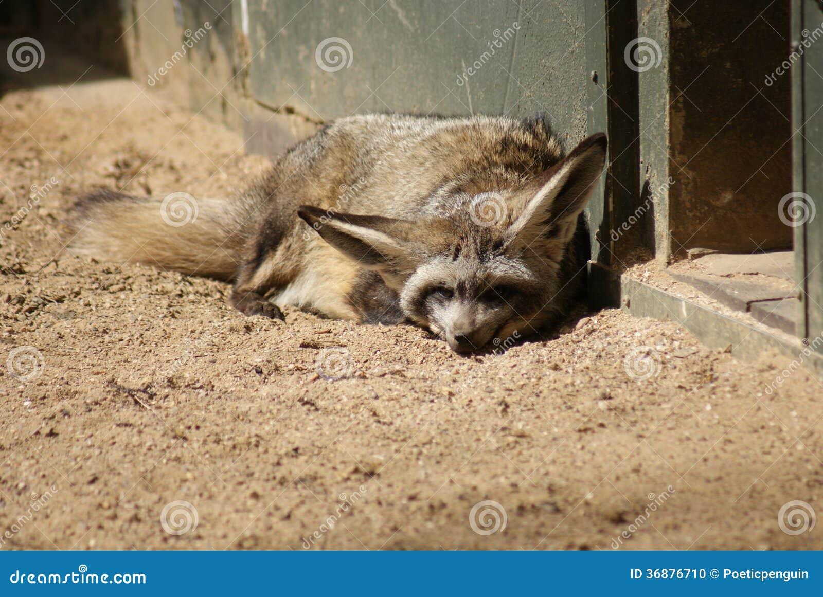 Download Fox Pipistrello-eared - Megalotis Di Otocyon Fotografia Stock - Immagine di cute, canino: 36876710