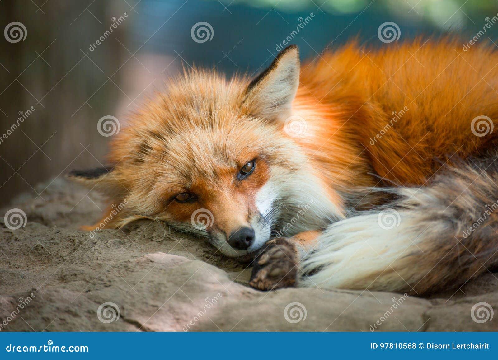 Fox portret