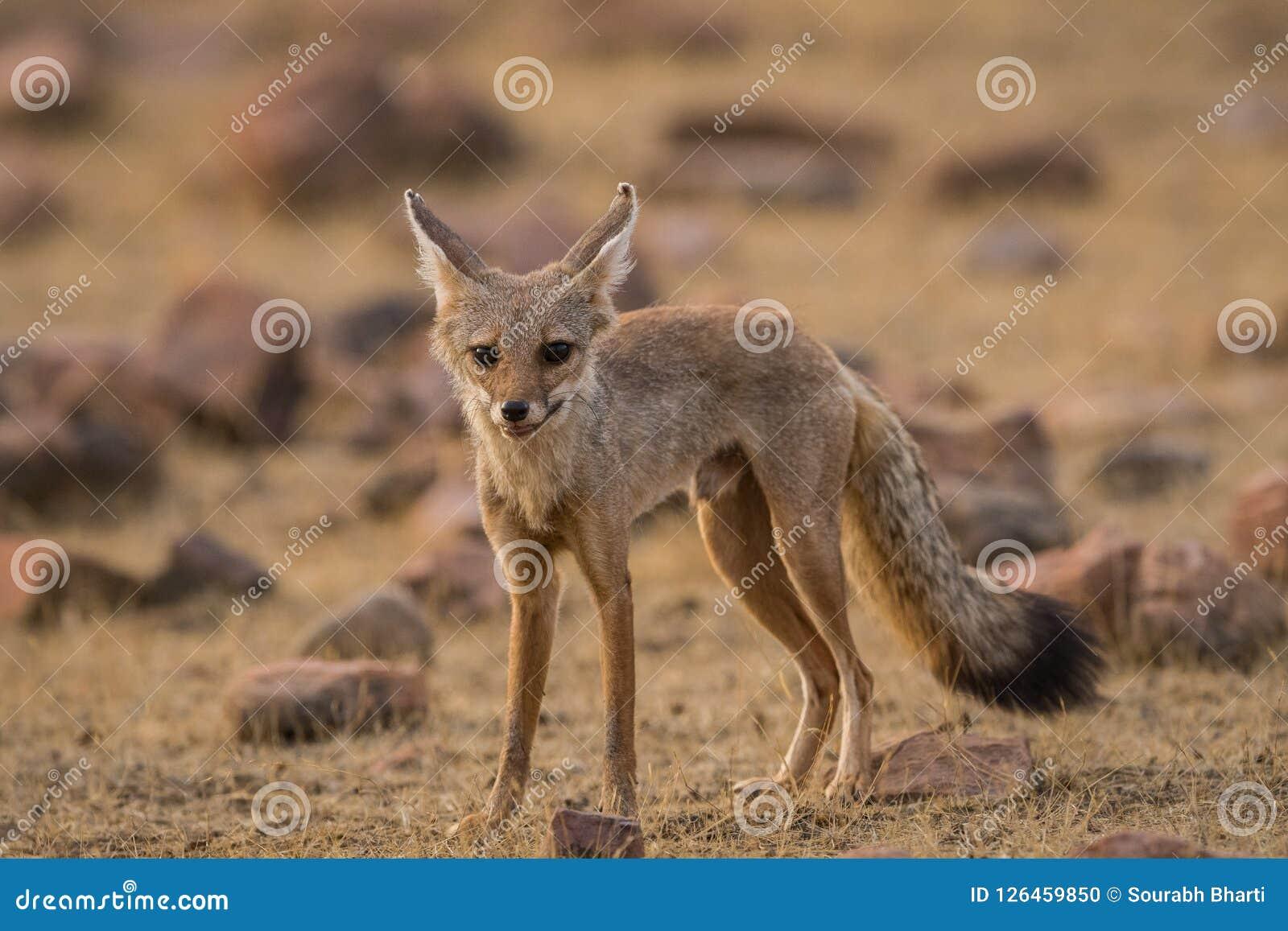 A fox pup Vulpes bengalensis at Ranthambore National Park