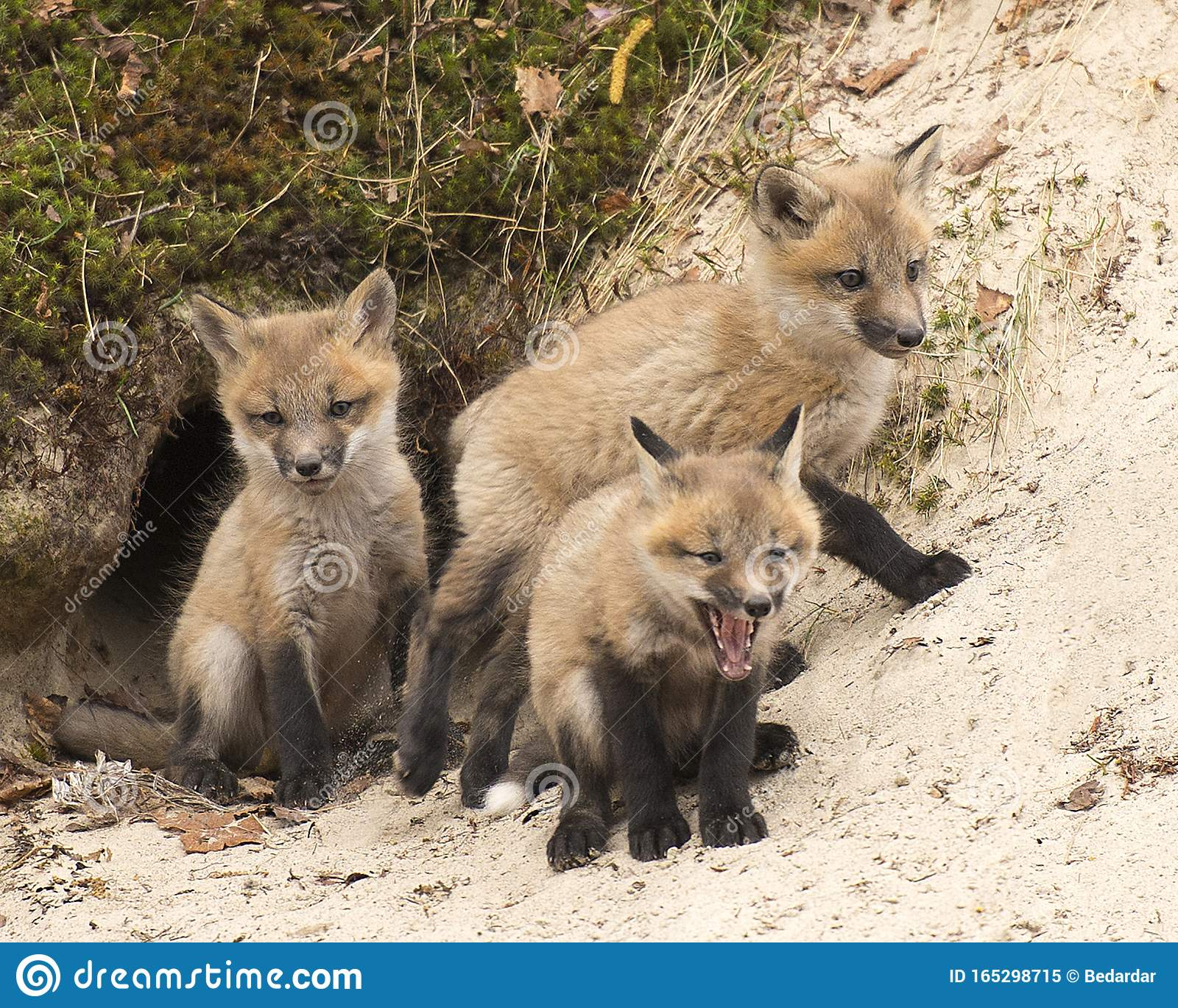 Fox Red Fox Animal Photo Baby Foxes Animals By The Den Hole Stock Image Image Of Eyes Hole 165298715